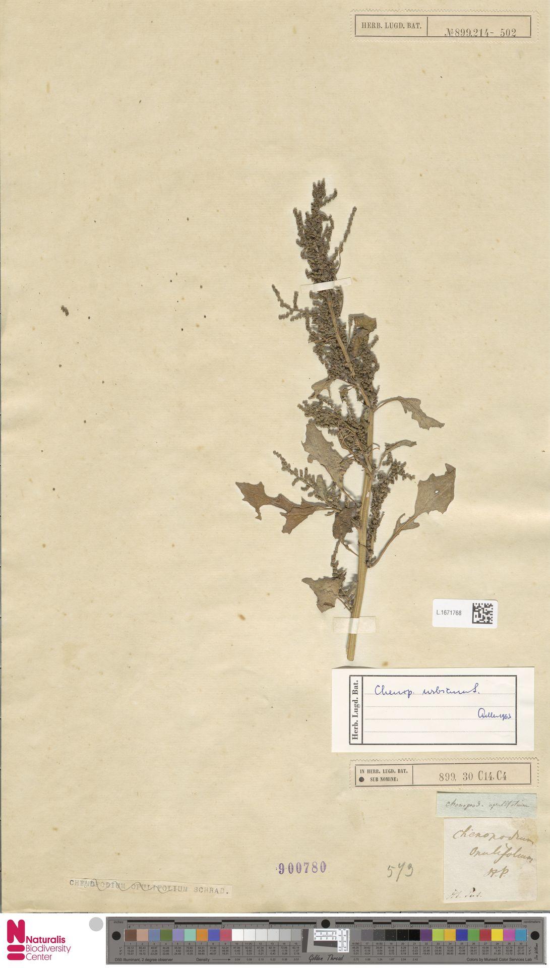 L.1671768 | Chenopodium urbicum L.