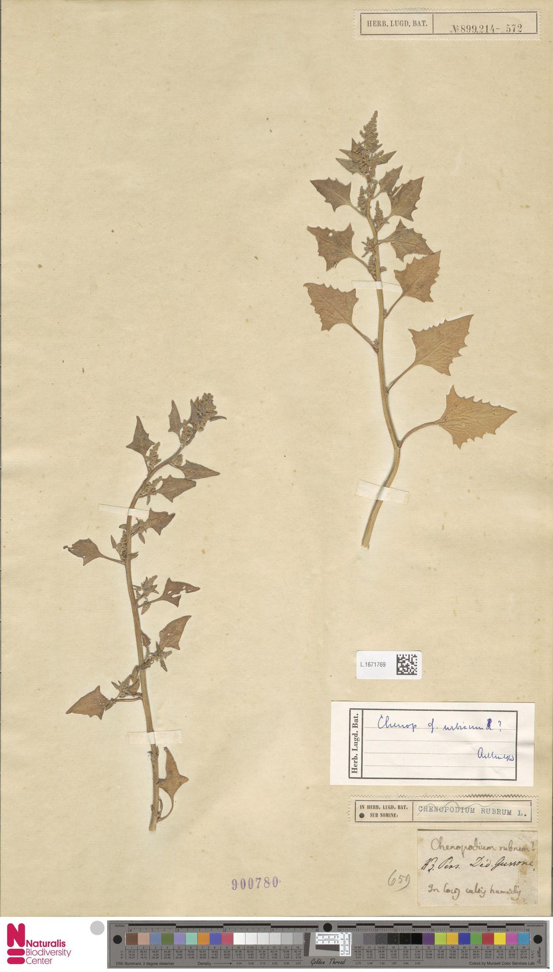 L.1671769 | Chenopodium urbicum L.