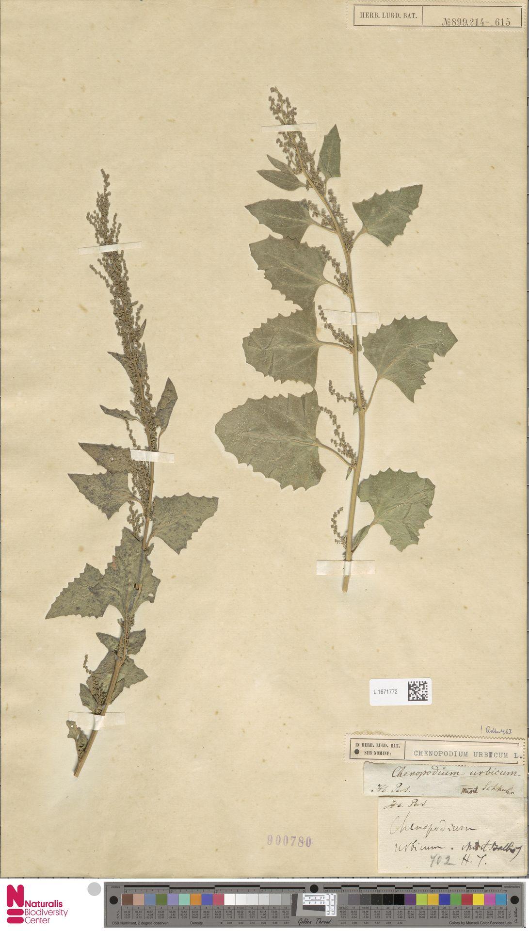 L.1671772 | Chenopodium urbicum L.