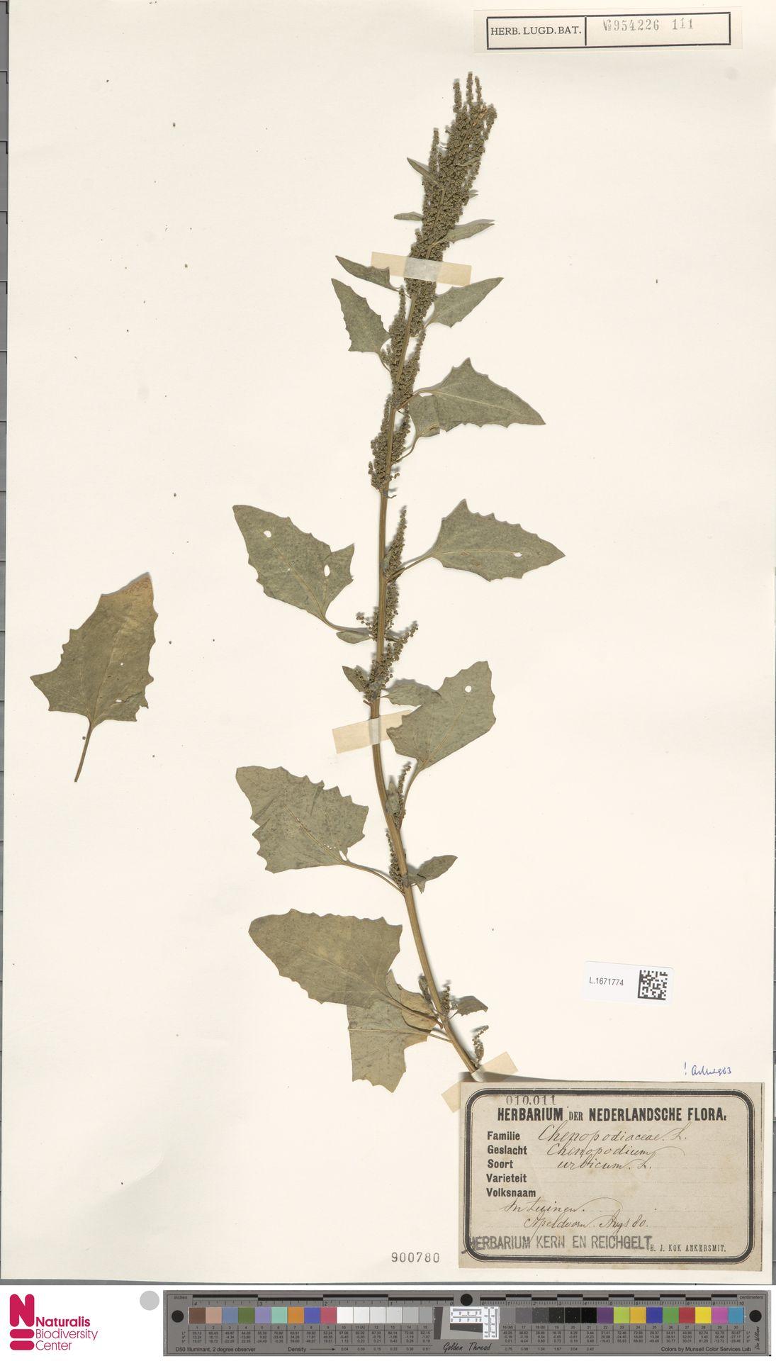 L.1671774 | Chenopodium urbicum L.