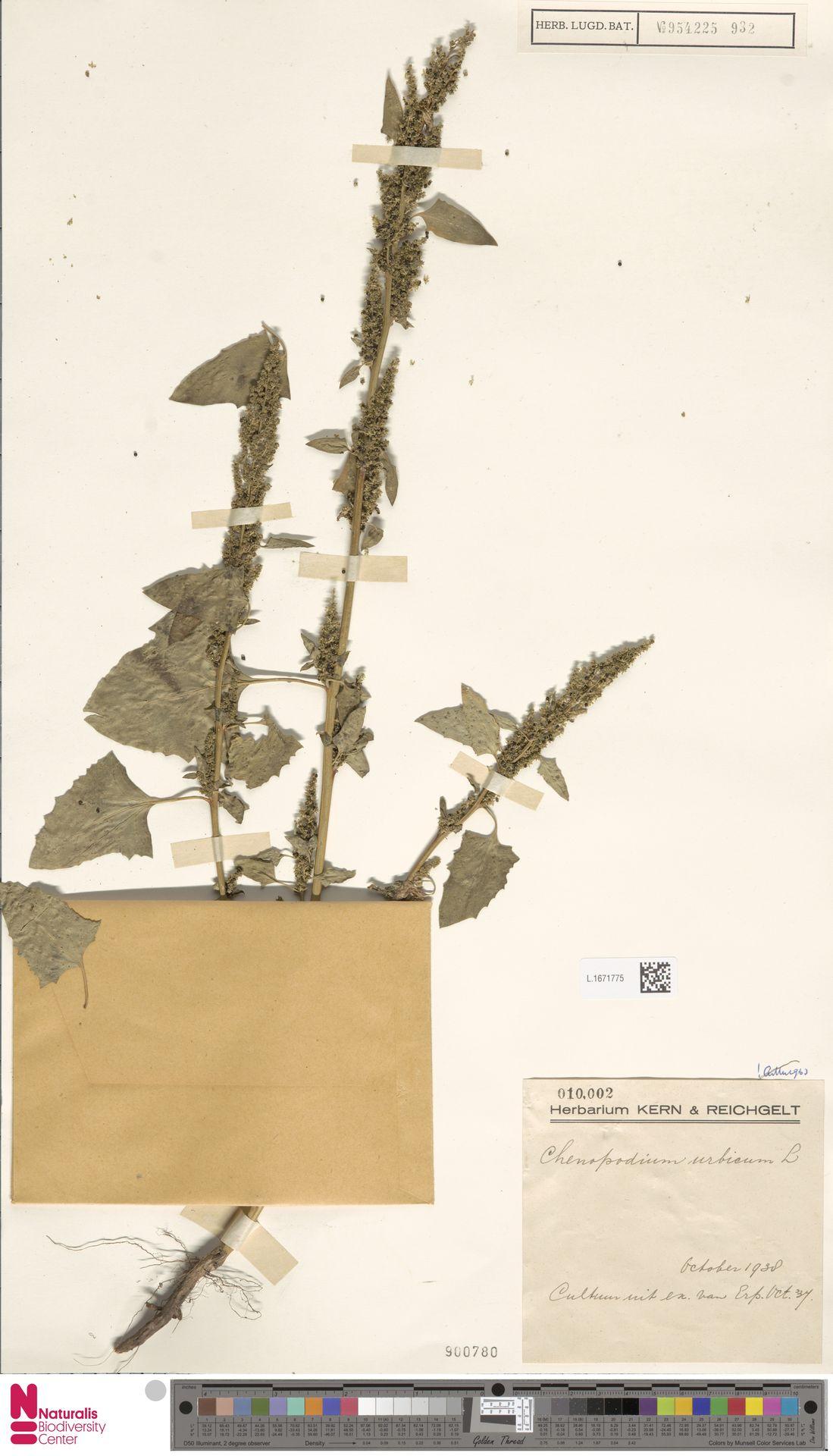 L.1671775 | Chenopodium urbicum L.