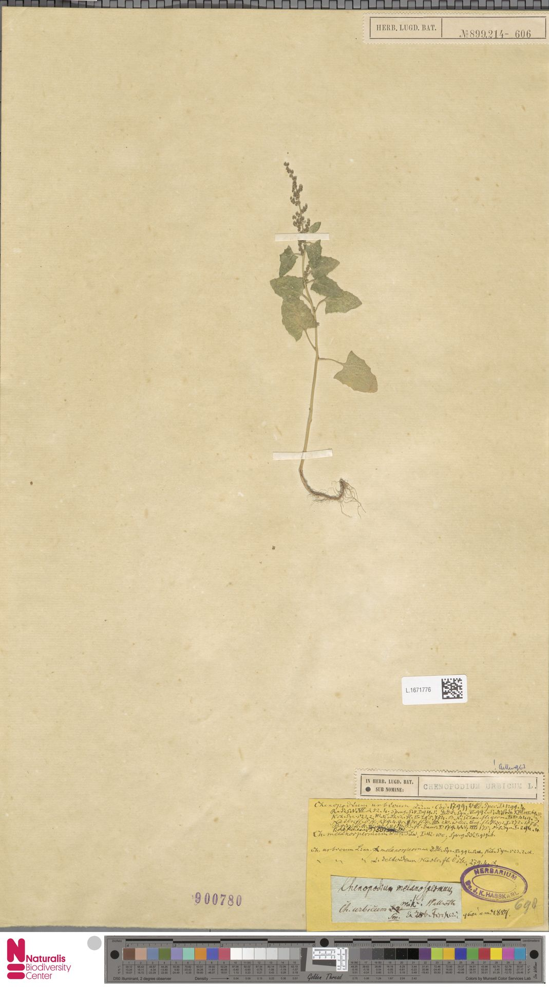 L.1671776 | Chenopodium urbicum L.