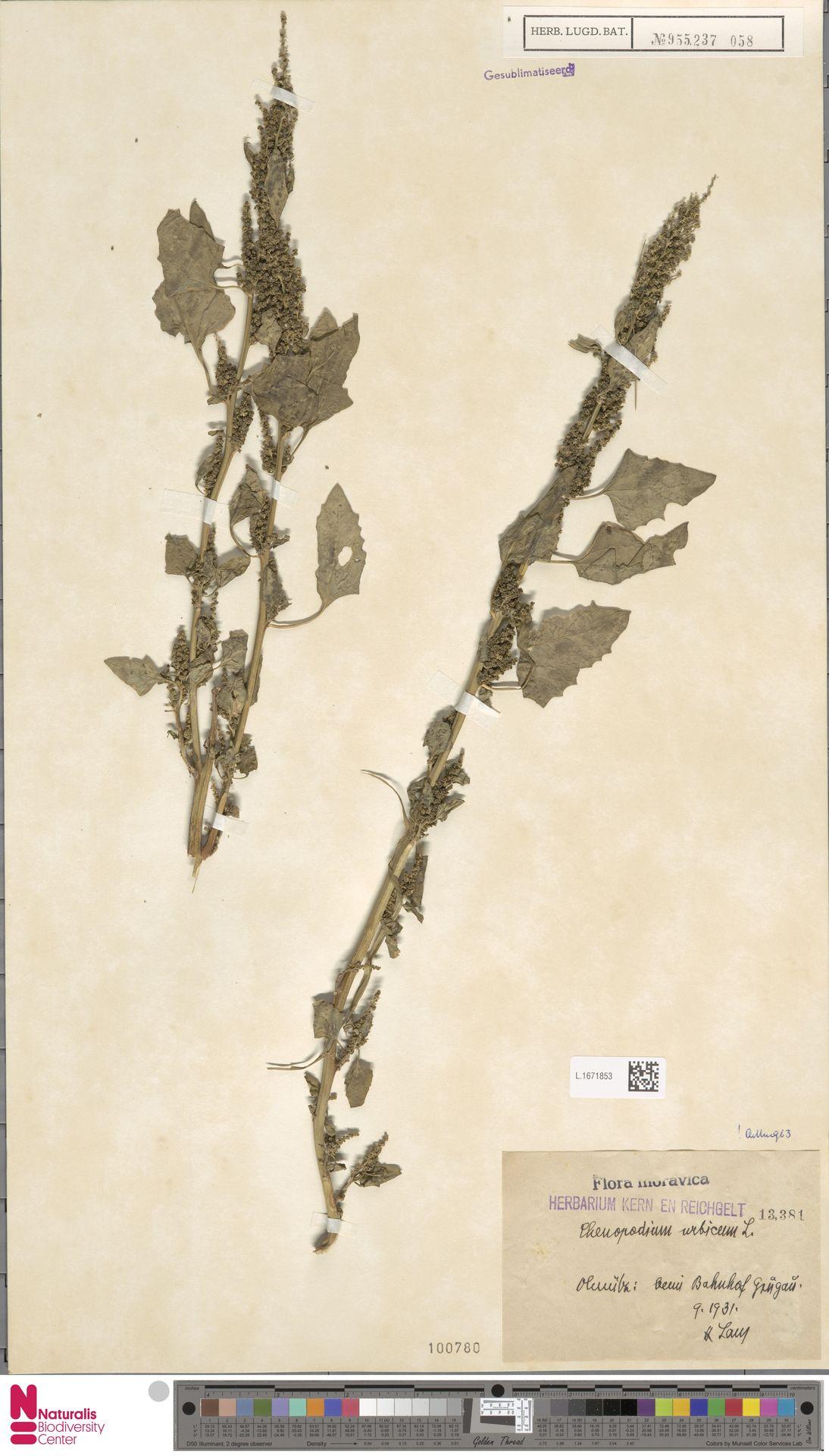 L.1671853 | Chenopodium urbicum L.