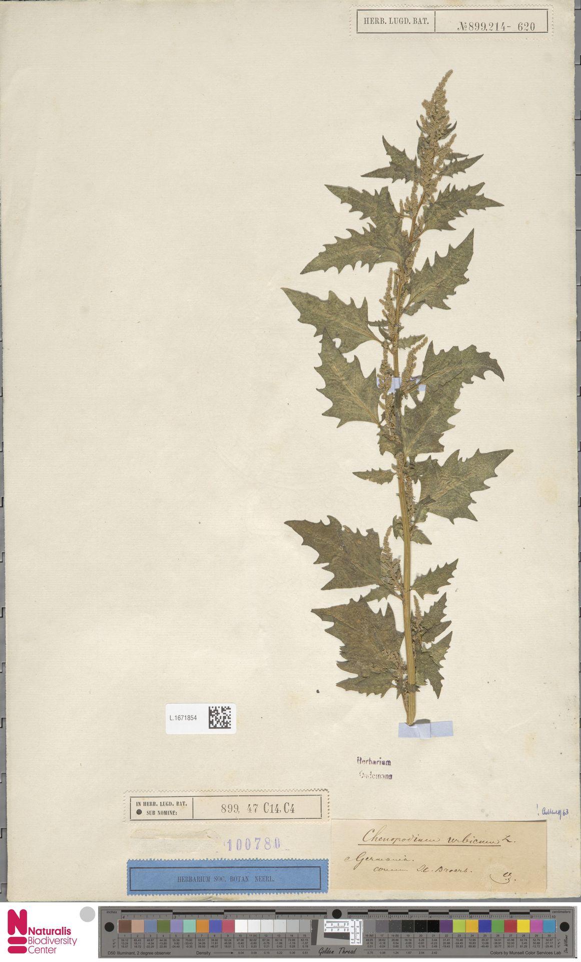 L.1671854 | Chenopodium urbicum L.