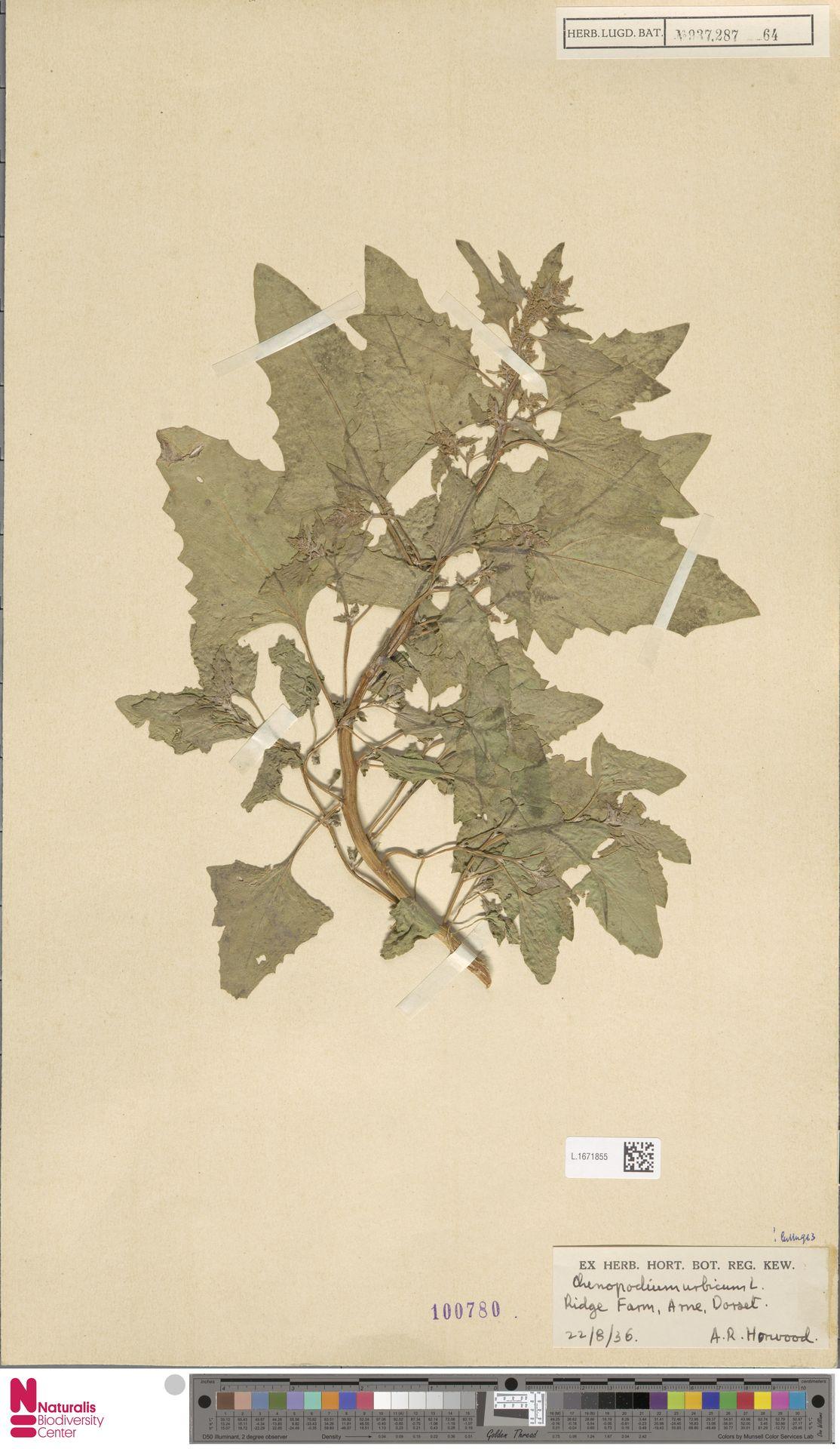 L.1671855 | Chenopodium urbicum L.