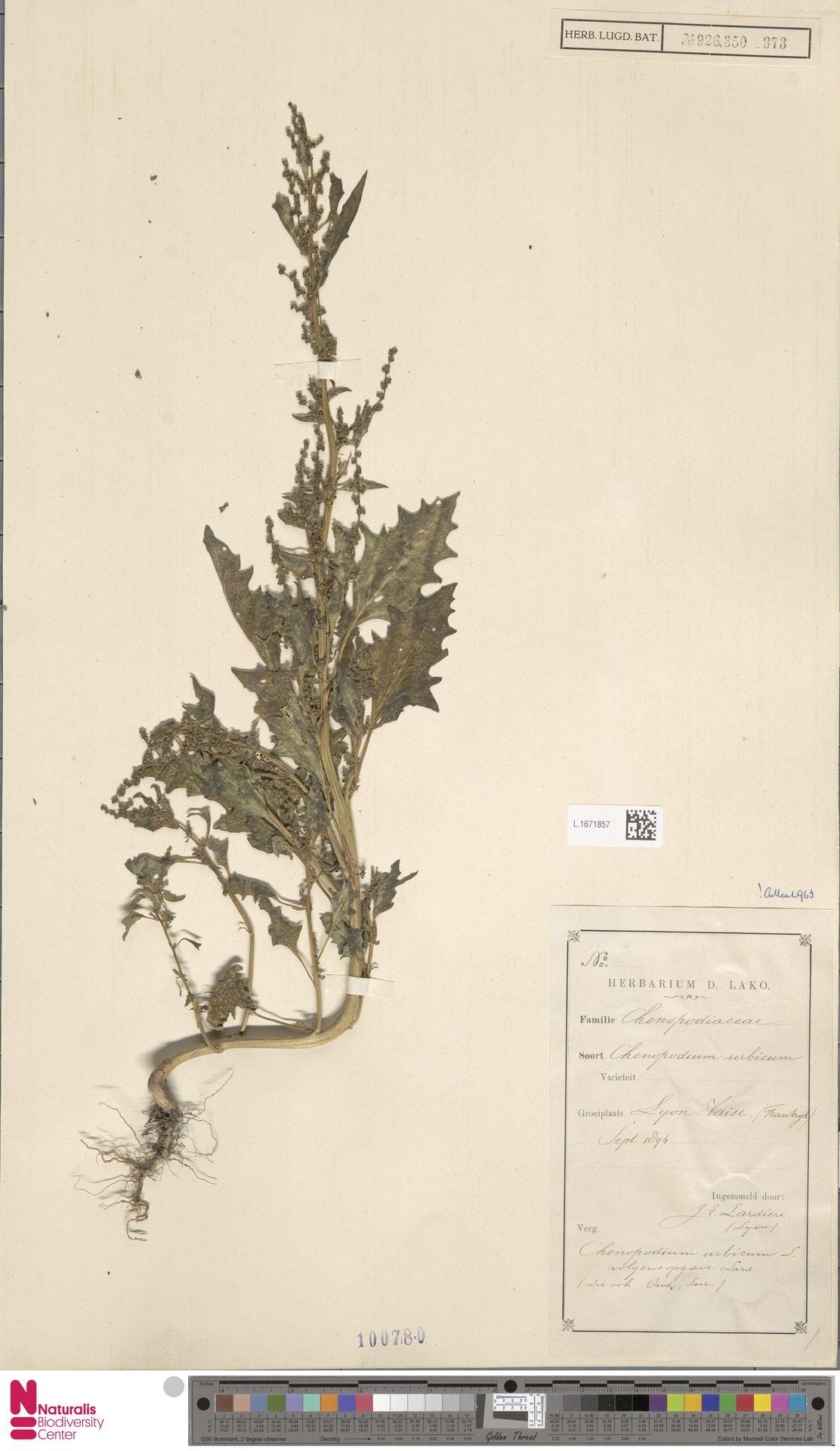 L.1671857 | Chenopodium urbicum L.