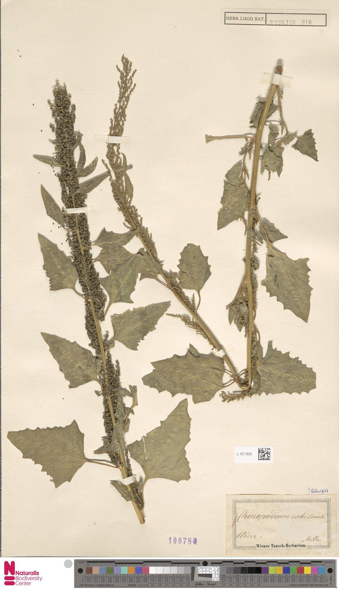 L.1671858 | Chenopodium urbicum L.