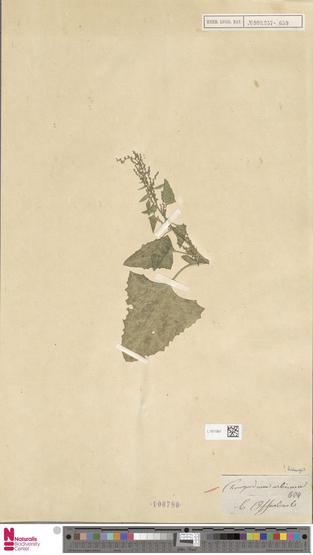 L.1671861 | Chenopodium urbicum L.