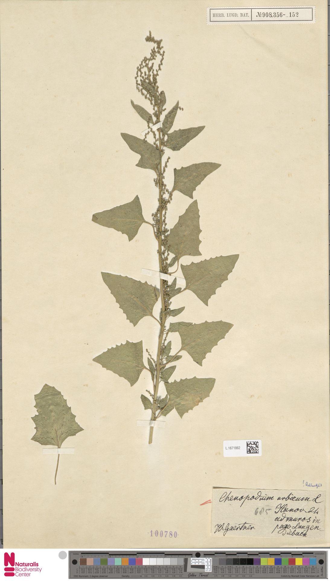L.1671862 | Chenopodium urbicum L.