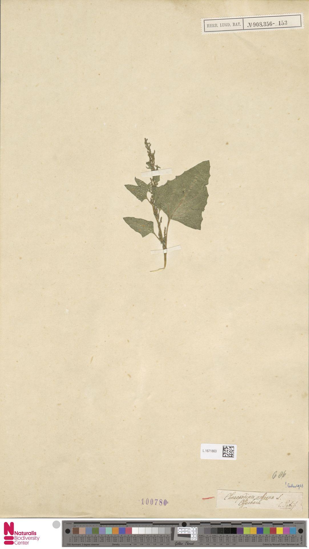L.1671863 | Chenopodium urbicum L.