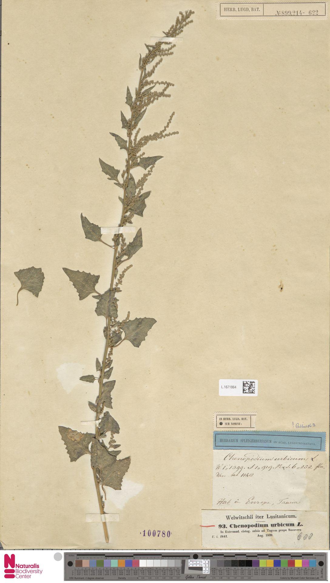 L.1671864 | Chenopodium urbicum L.