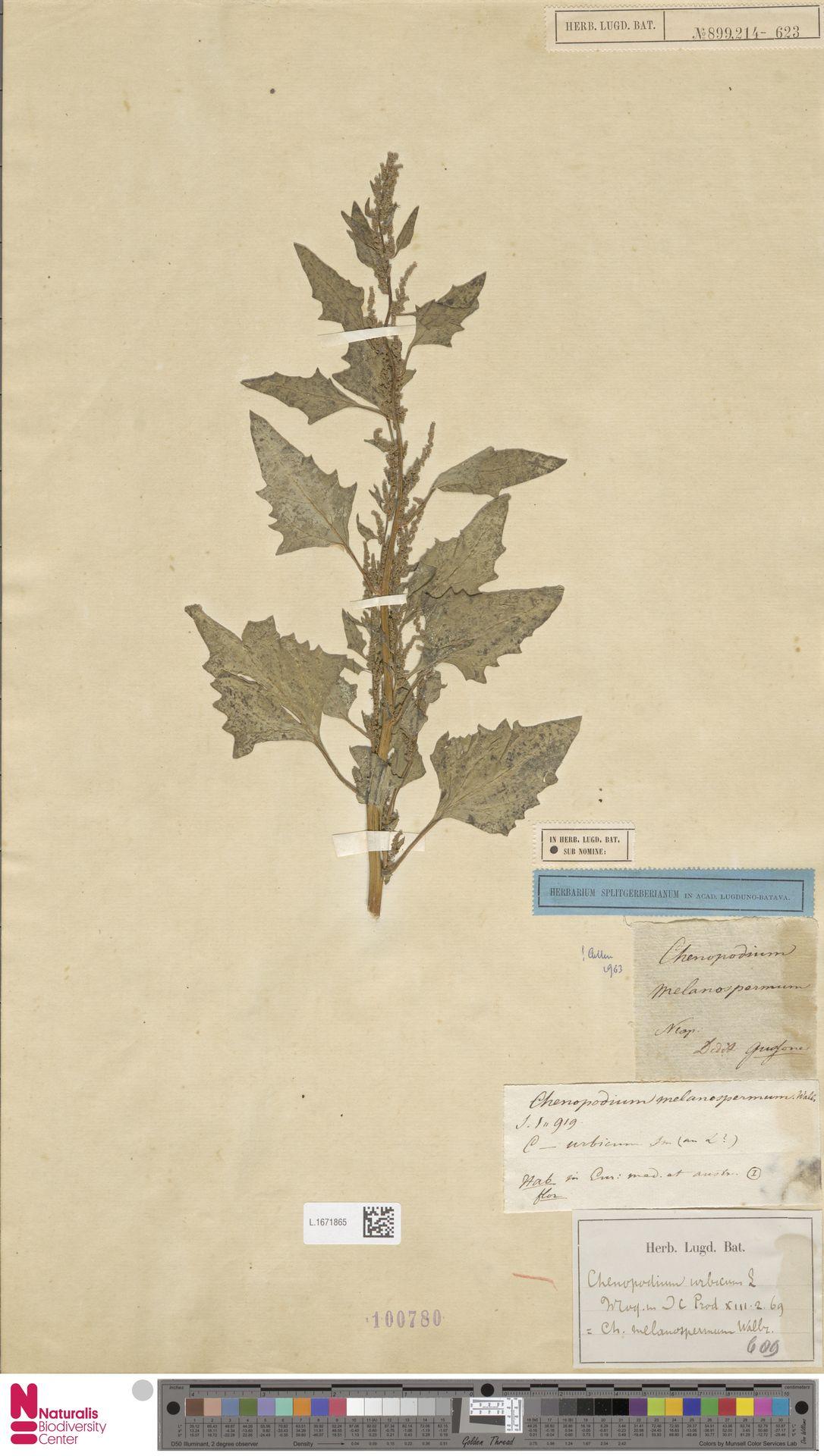L.1671865 | Chenopodium urbicum L.