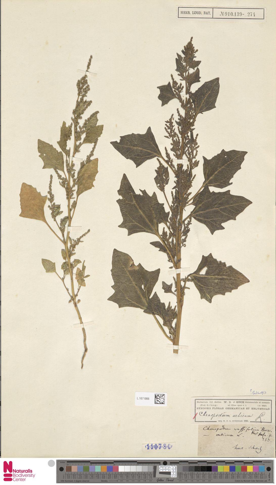 L.1671866 | Chenopodium urbicum L.