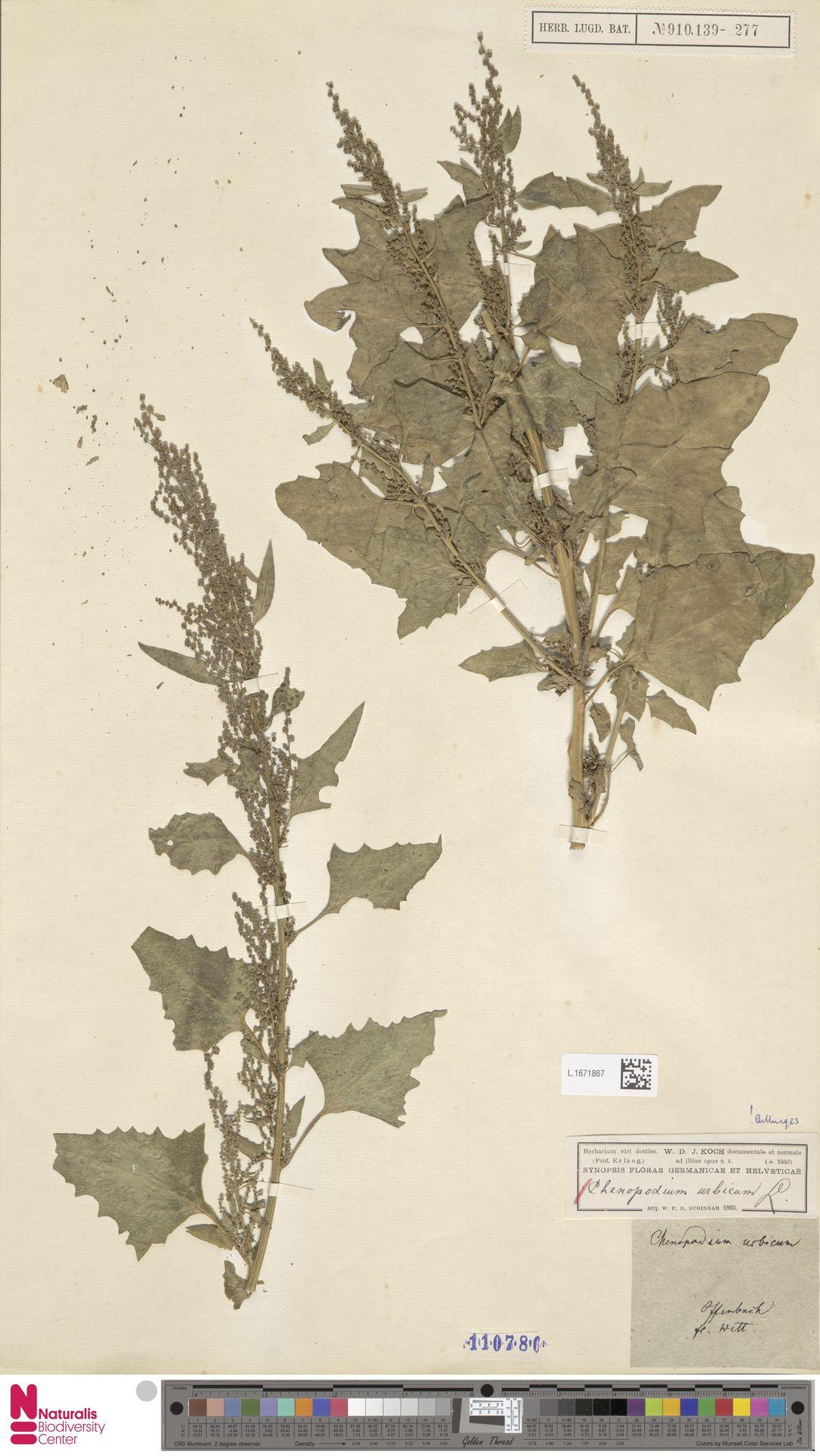 L.1671867 | Chenopodium urbicum L.