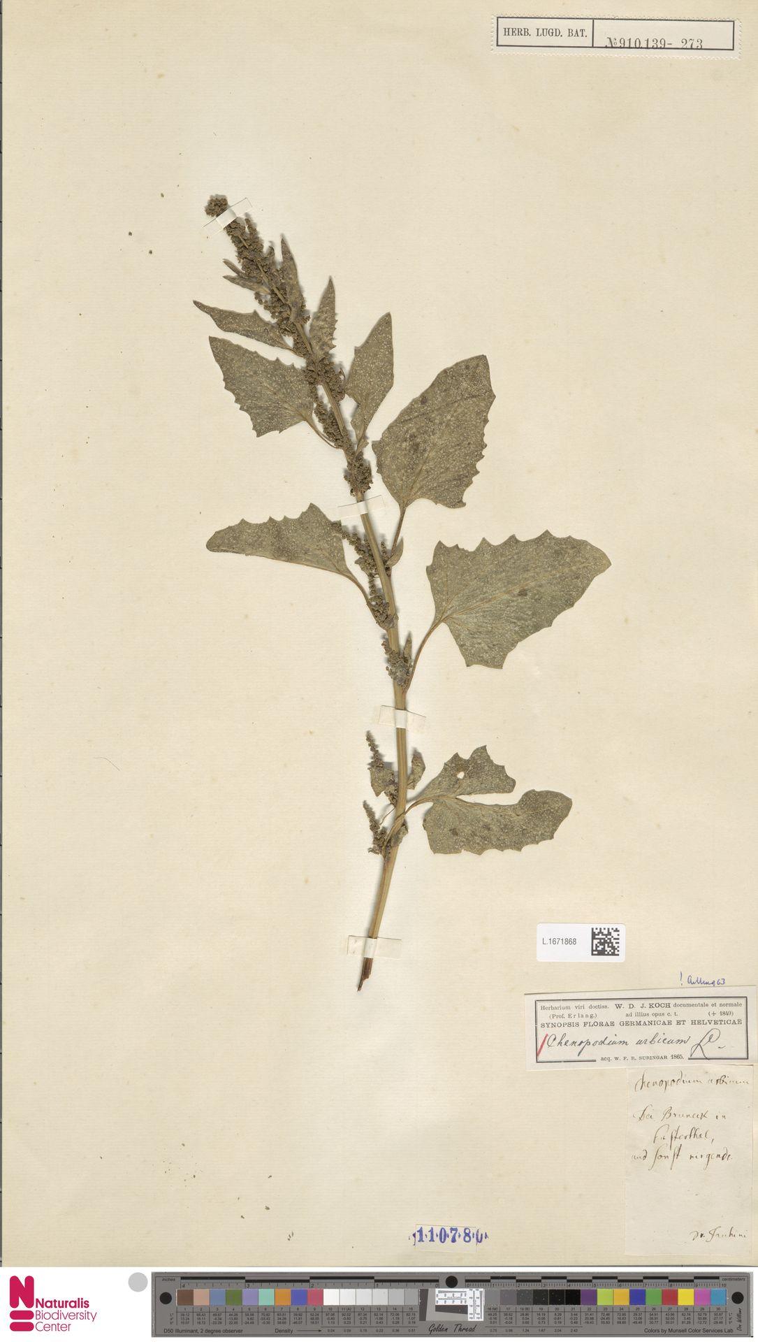 L.1671868 | Chenopodium urbicum L.