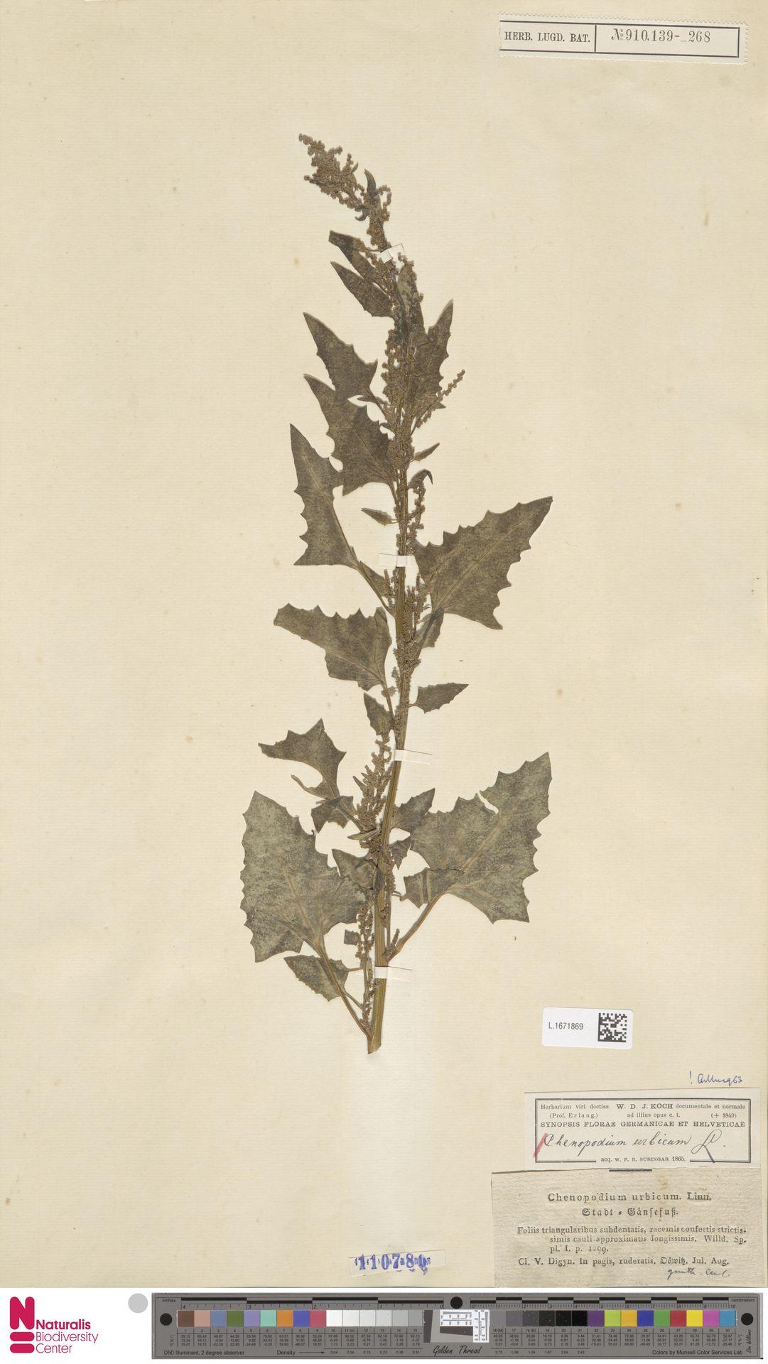 L.1671869 | Chenopodium urbicum L.