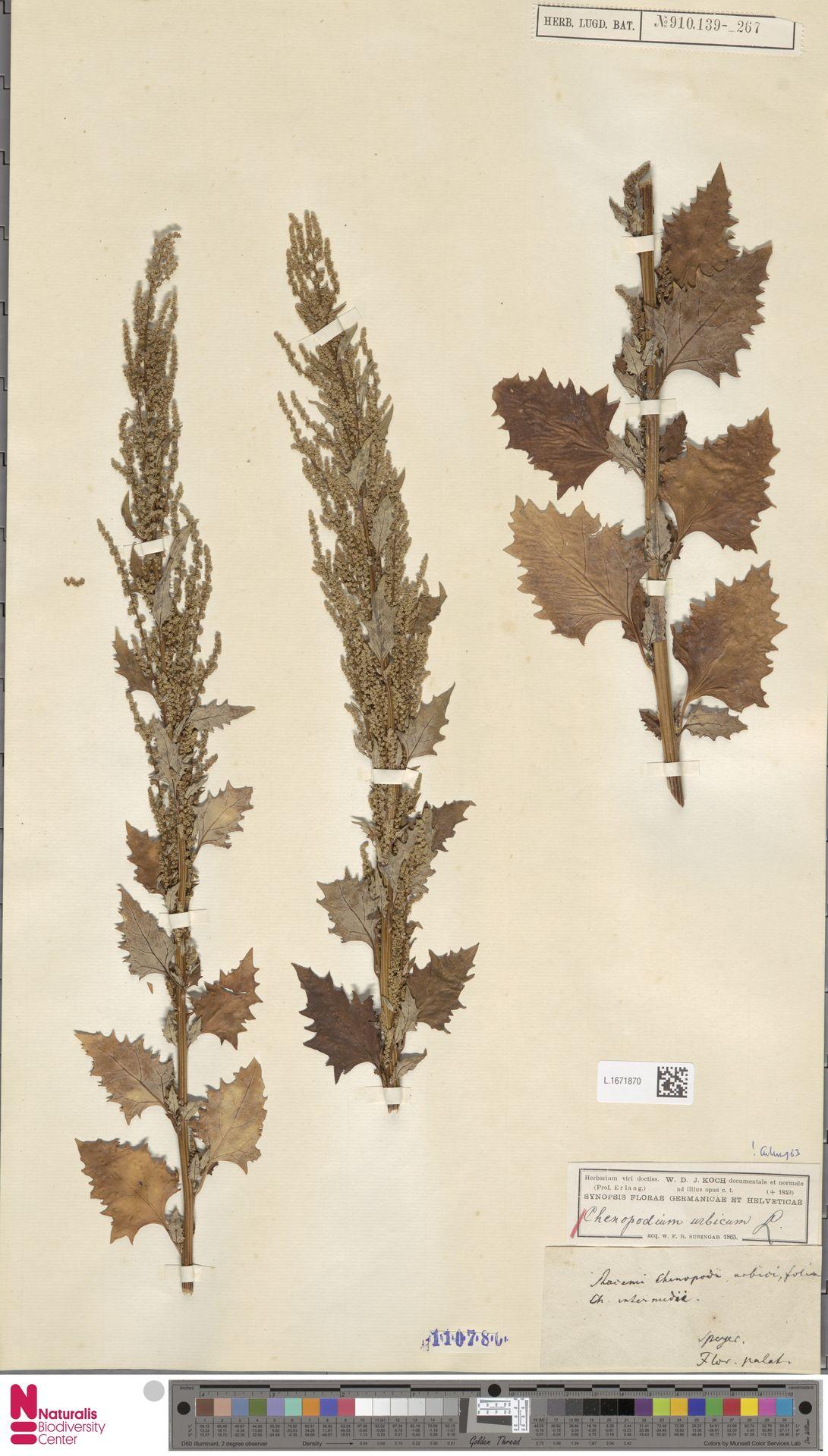 L.1671870 | Chenopodium urbicum L.