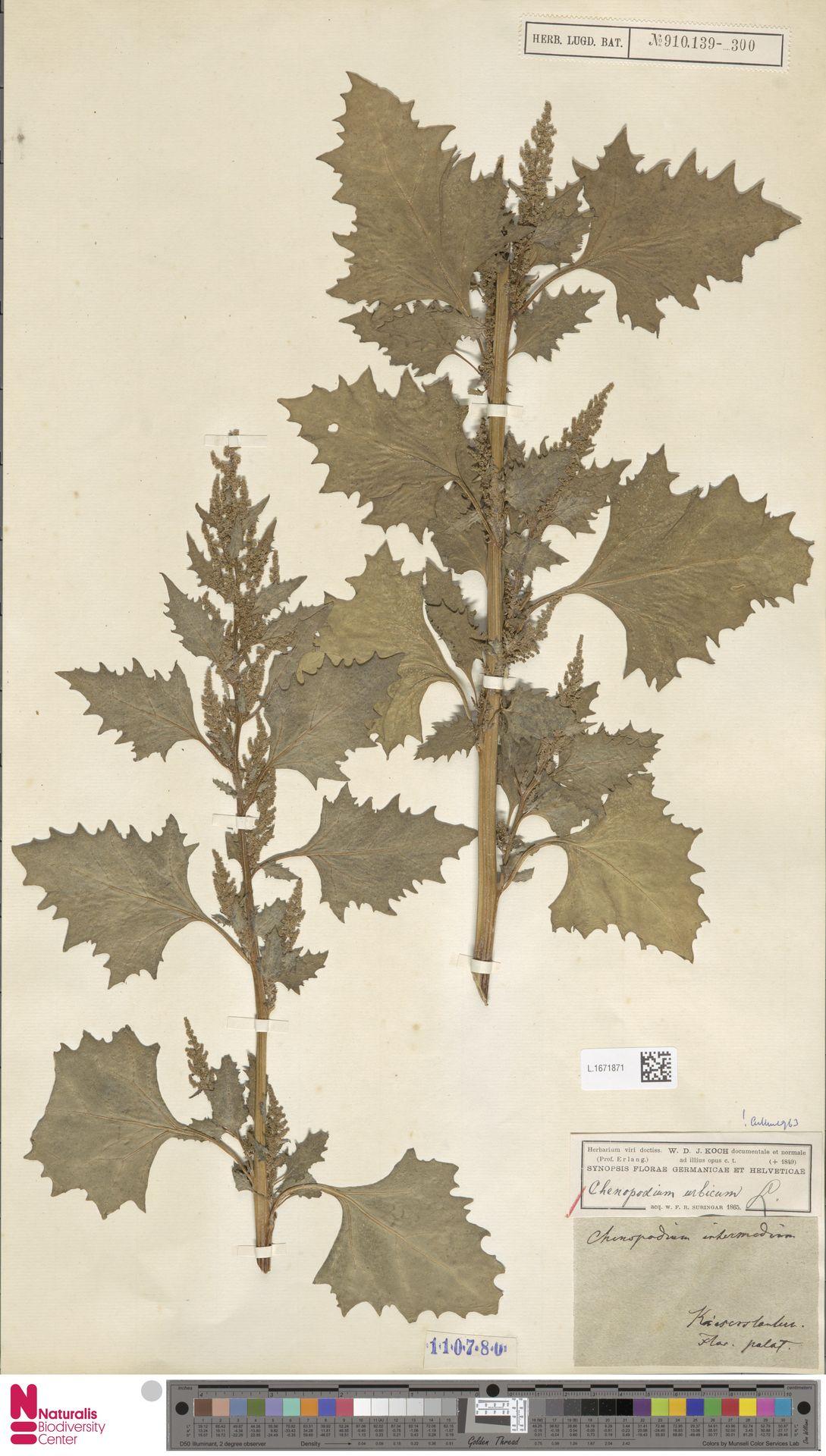L.1671871 | Chenopodium urbicum L.