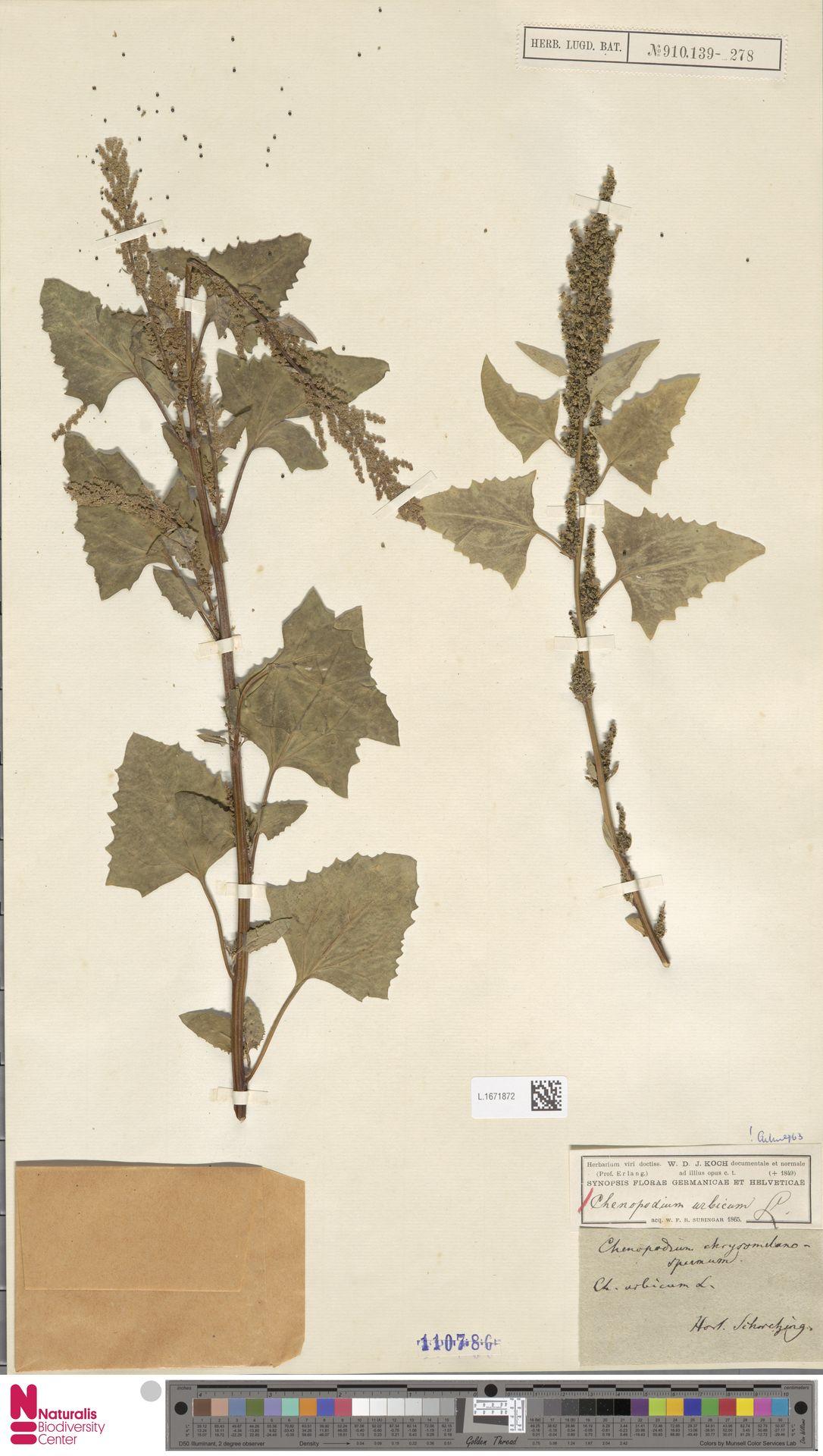 L.1671872 | Chenopodium urbicum L.