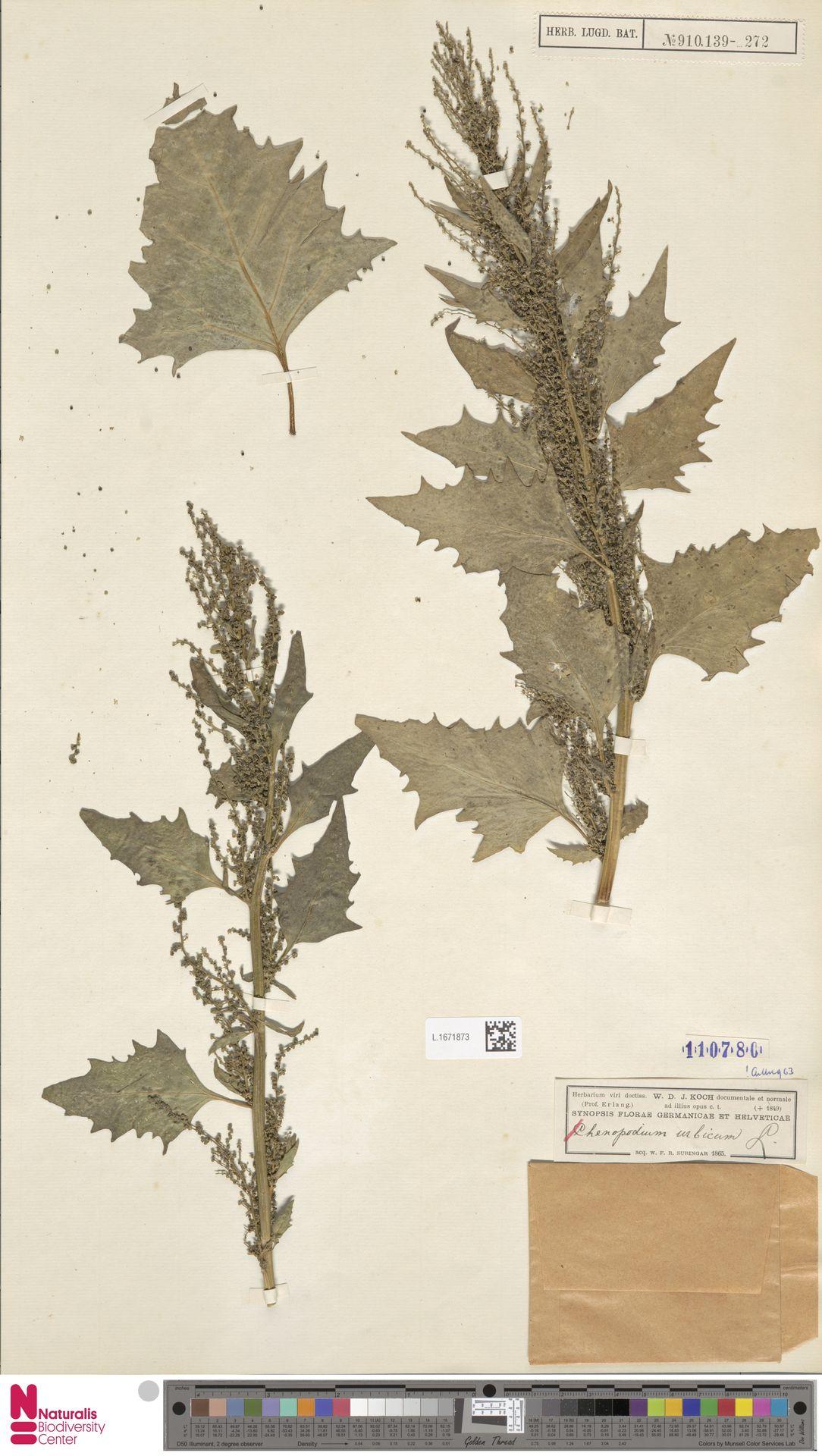 L.1671873 | Chenopodium urbicum L.