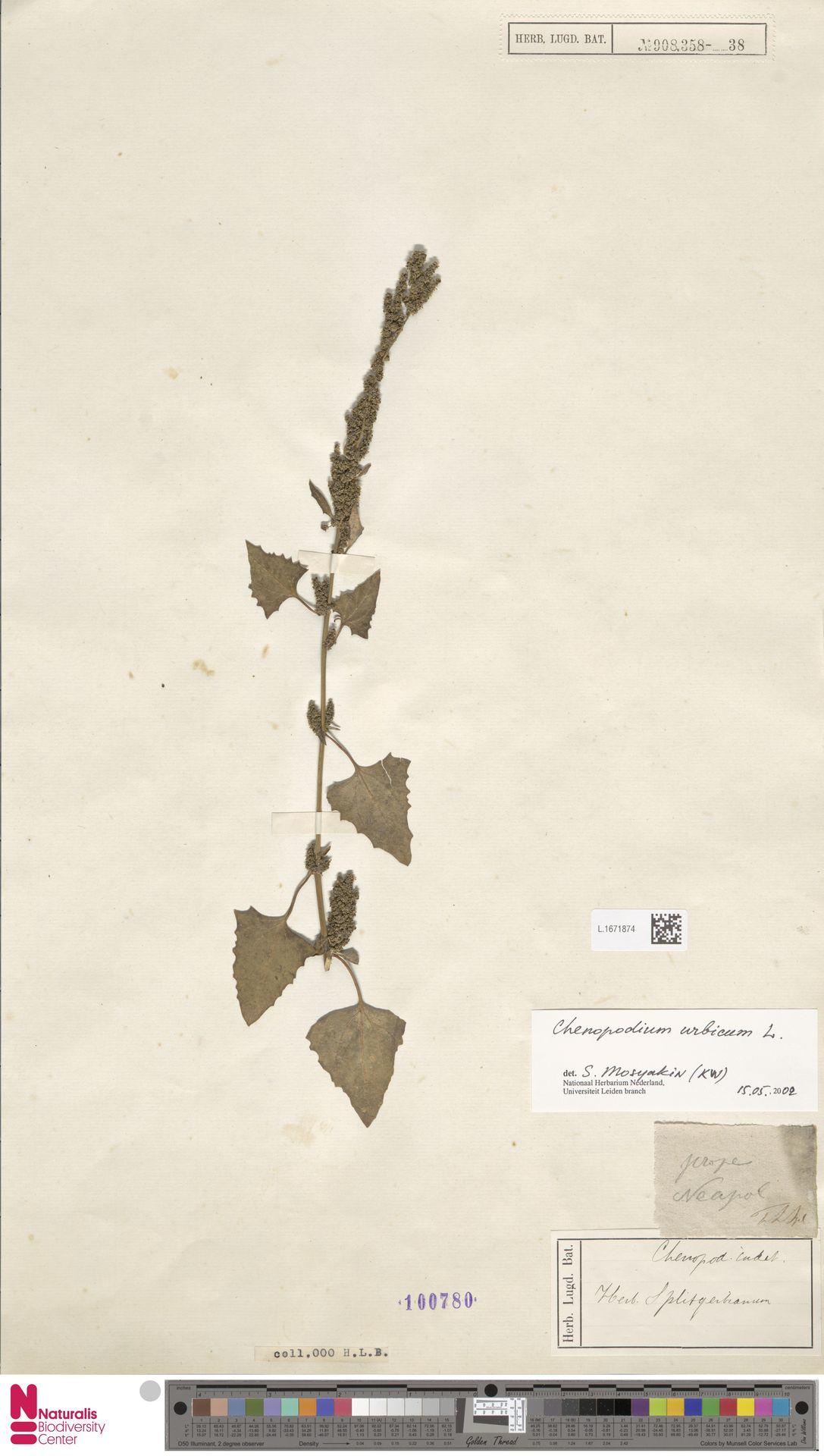 L.1671874 | Chenopodium urbicum L.