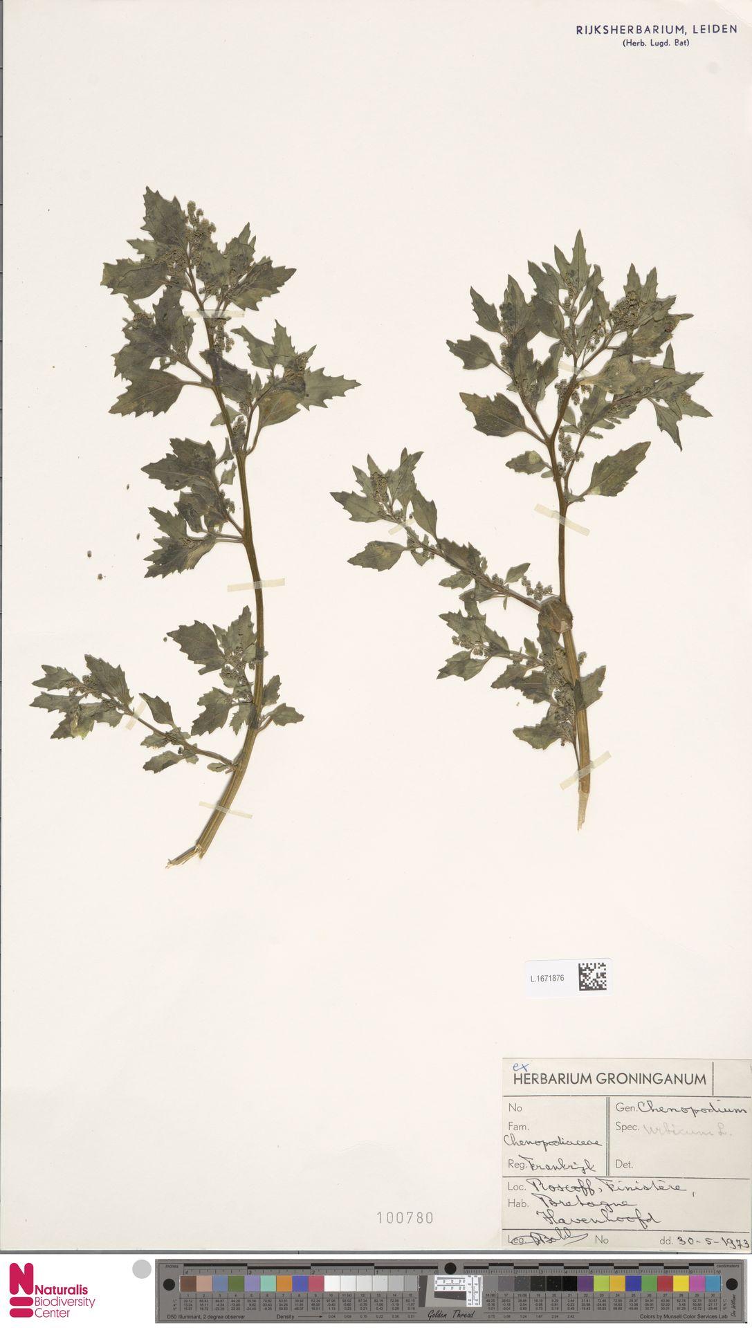 L.1671876 | Chenopodium urbicum L.
