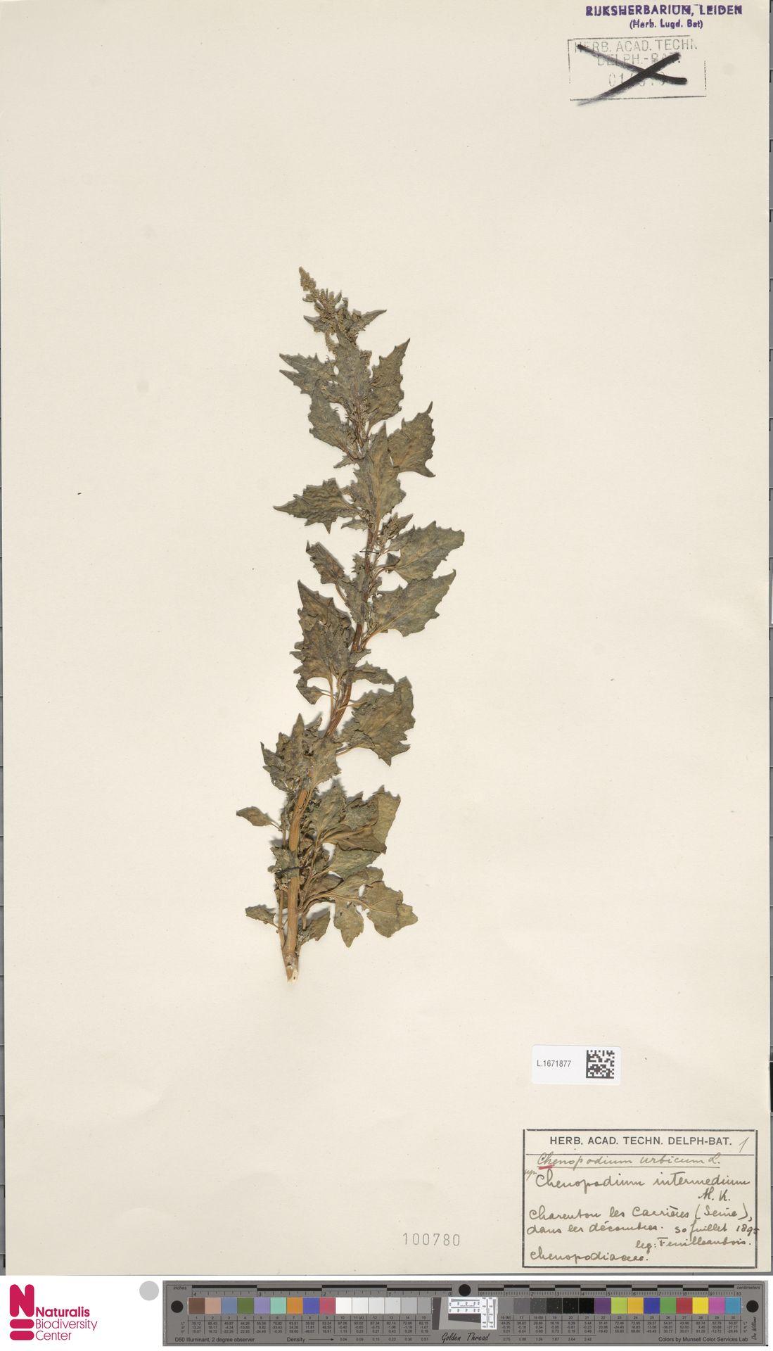 L.1671877 | Chenopodium urbicum L.