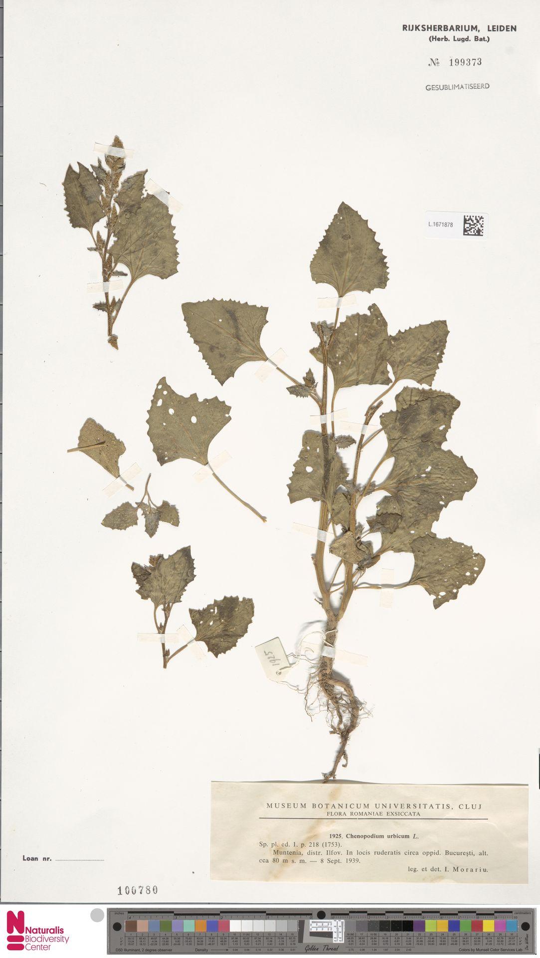 L.1671878 | Chenopodium urbicum L.