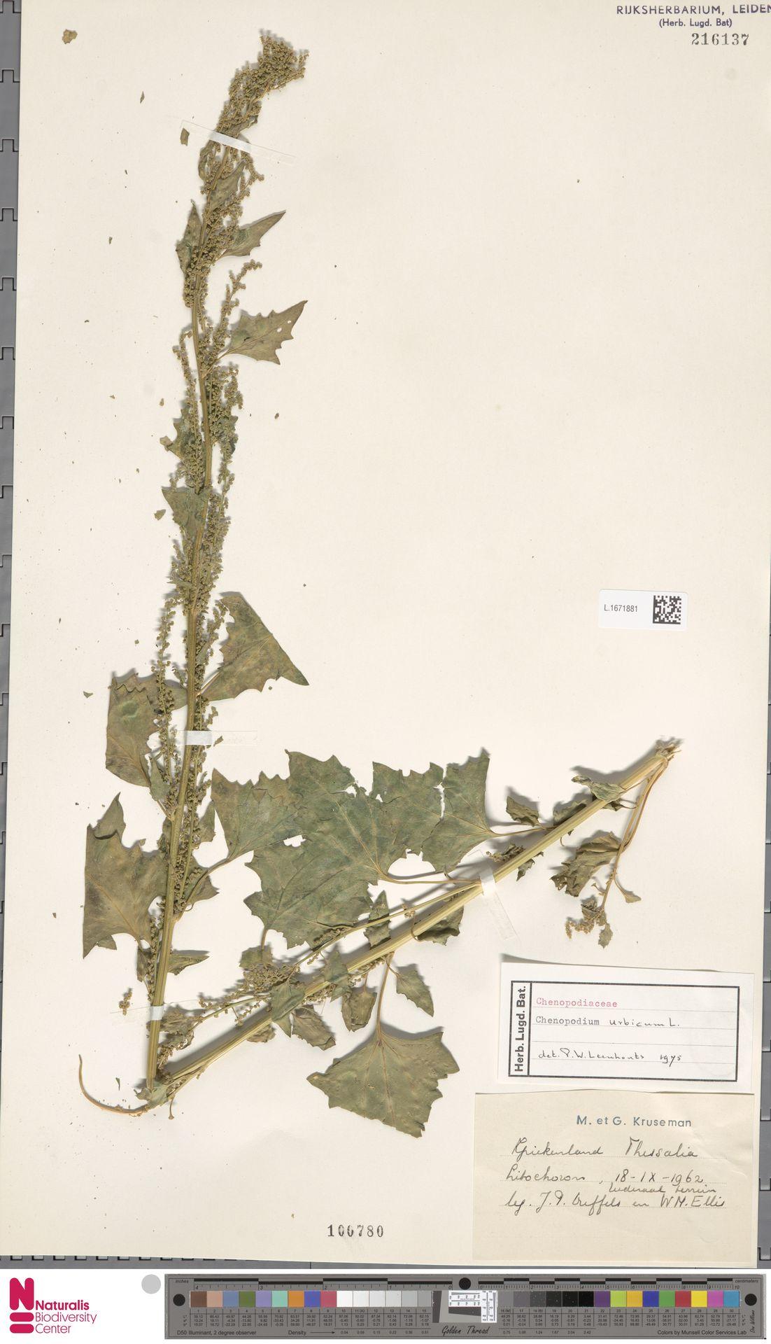L.1671881 | Chenopodium urbicum L.