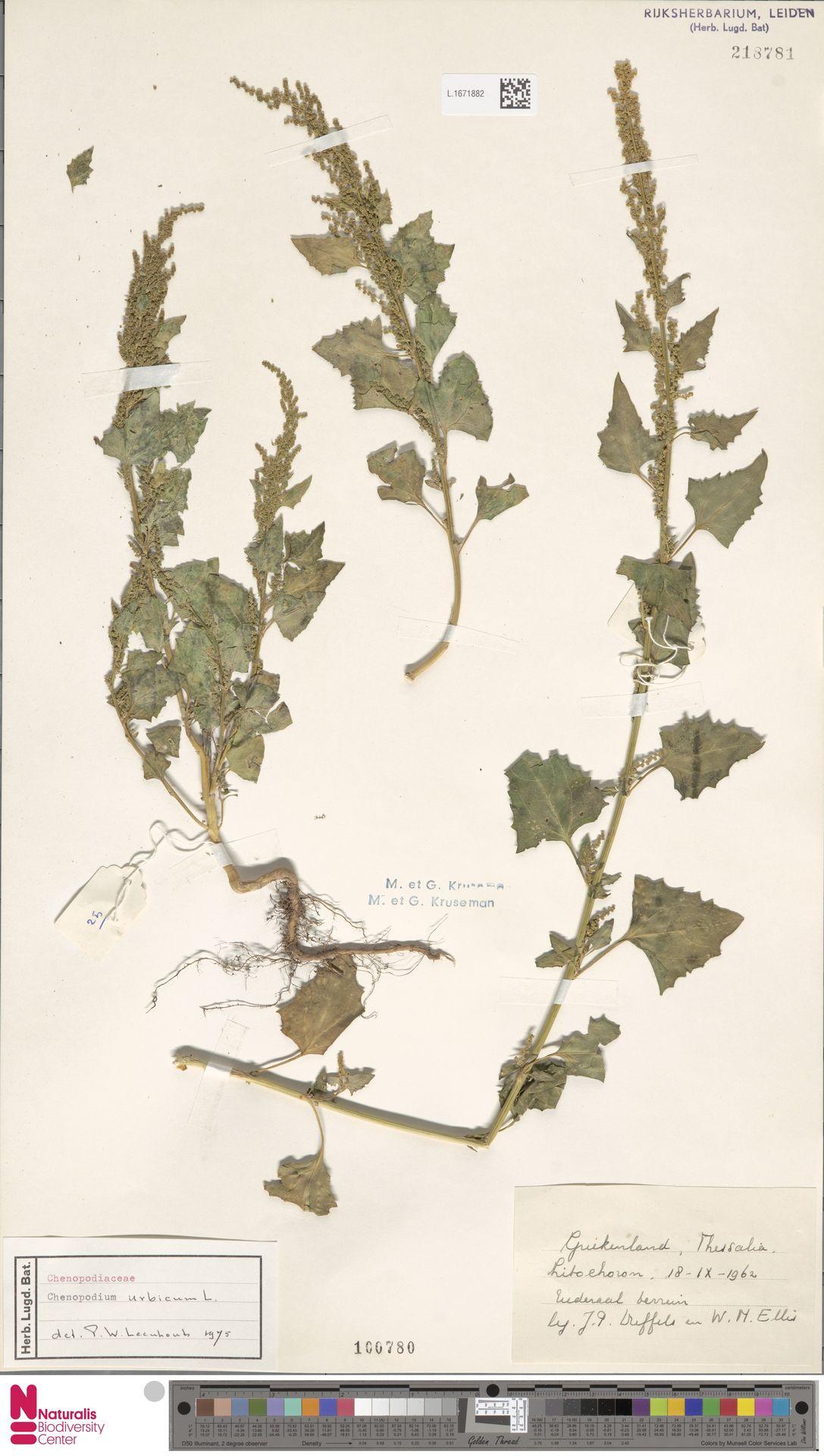 L.1671882 | Chenopodium urbicum L.