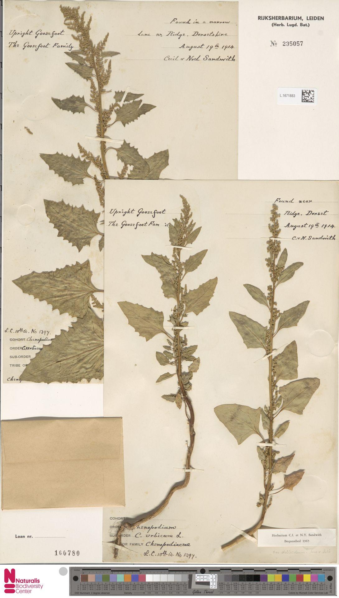 L.1671883 | Chenopodium urbicum L.