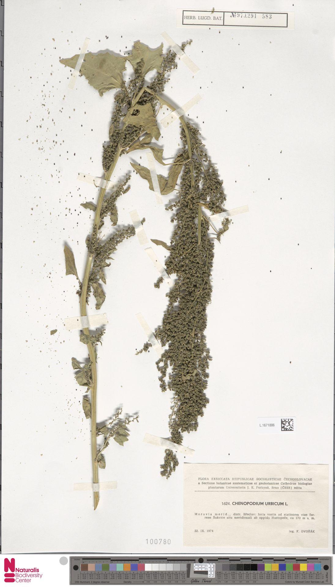 L.1671886 | Chenopodium urbicum L.
