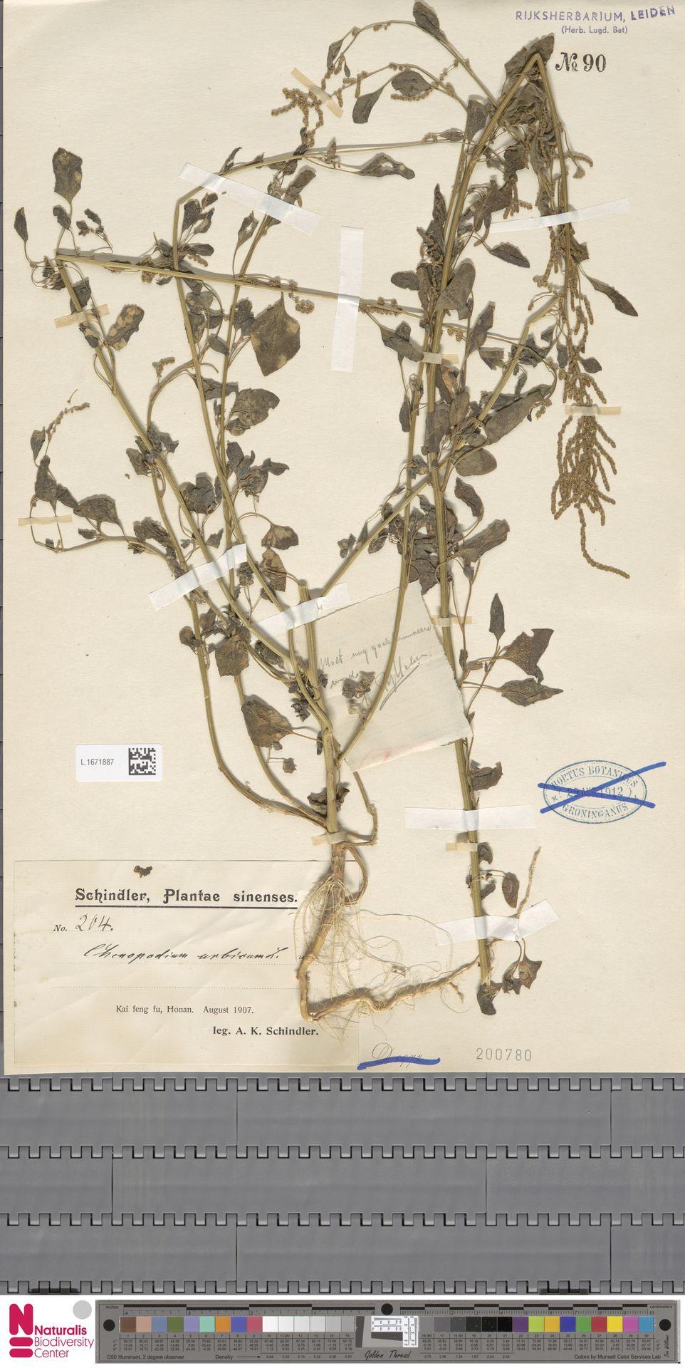 L.1671887 | Chenopodium urbicum L.