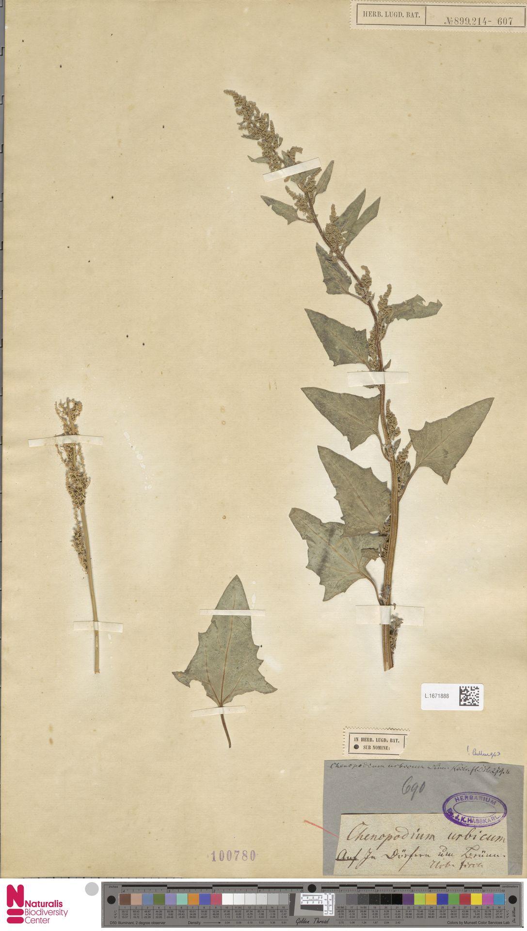 L.1671888 | Chenopodium urbicum L.