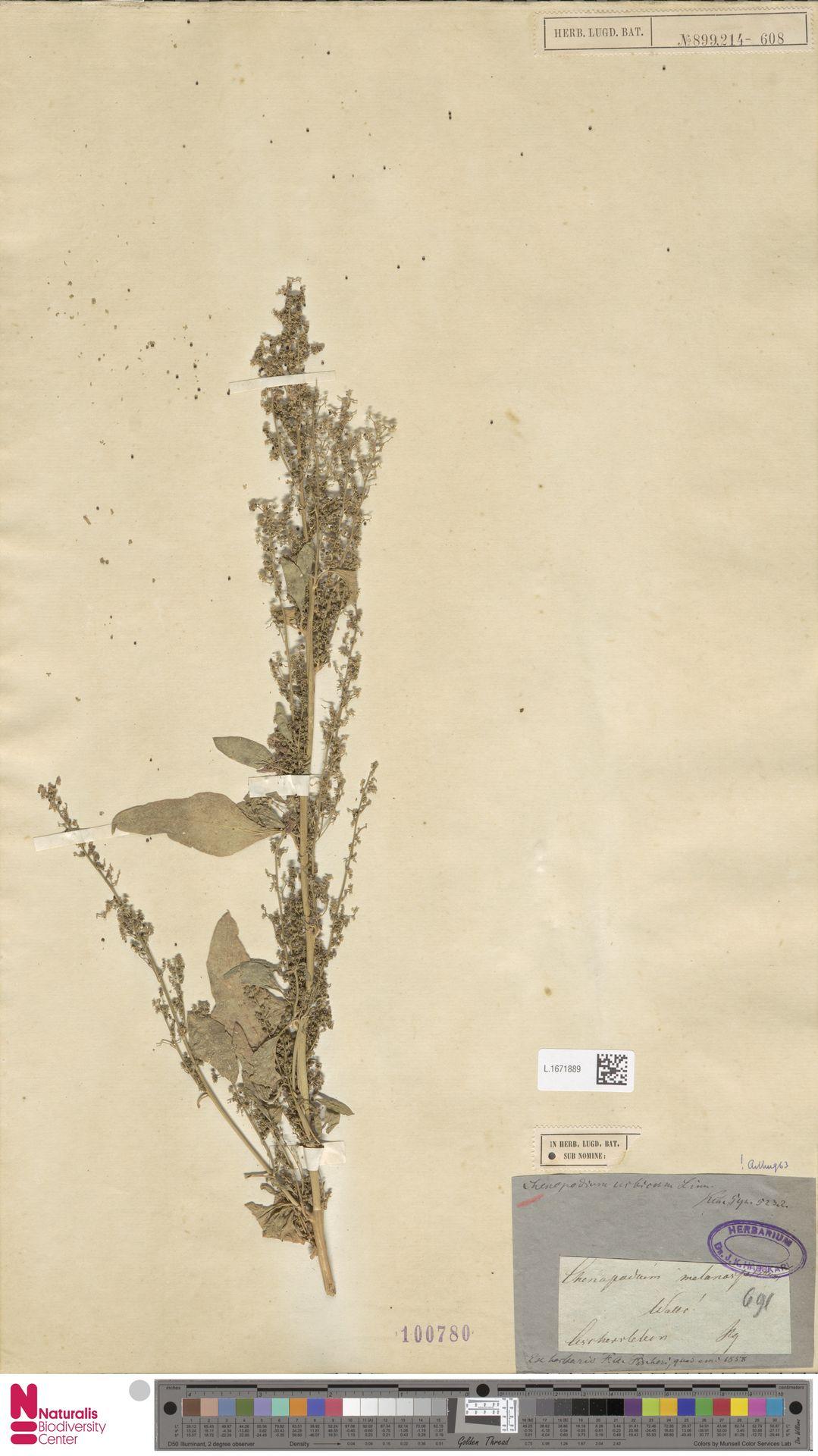 L.1671889 | Chenopodium urbicum L.