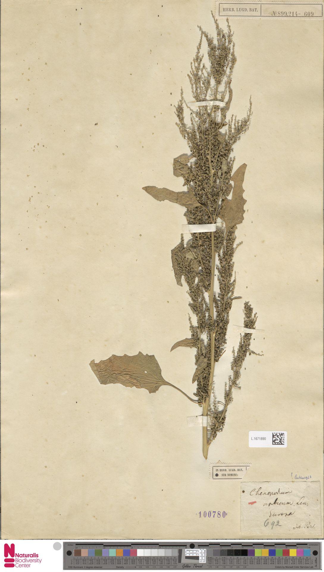 L.1671890 | Chenopodium urbicum L.