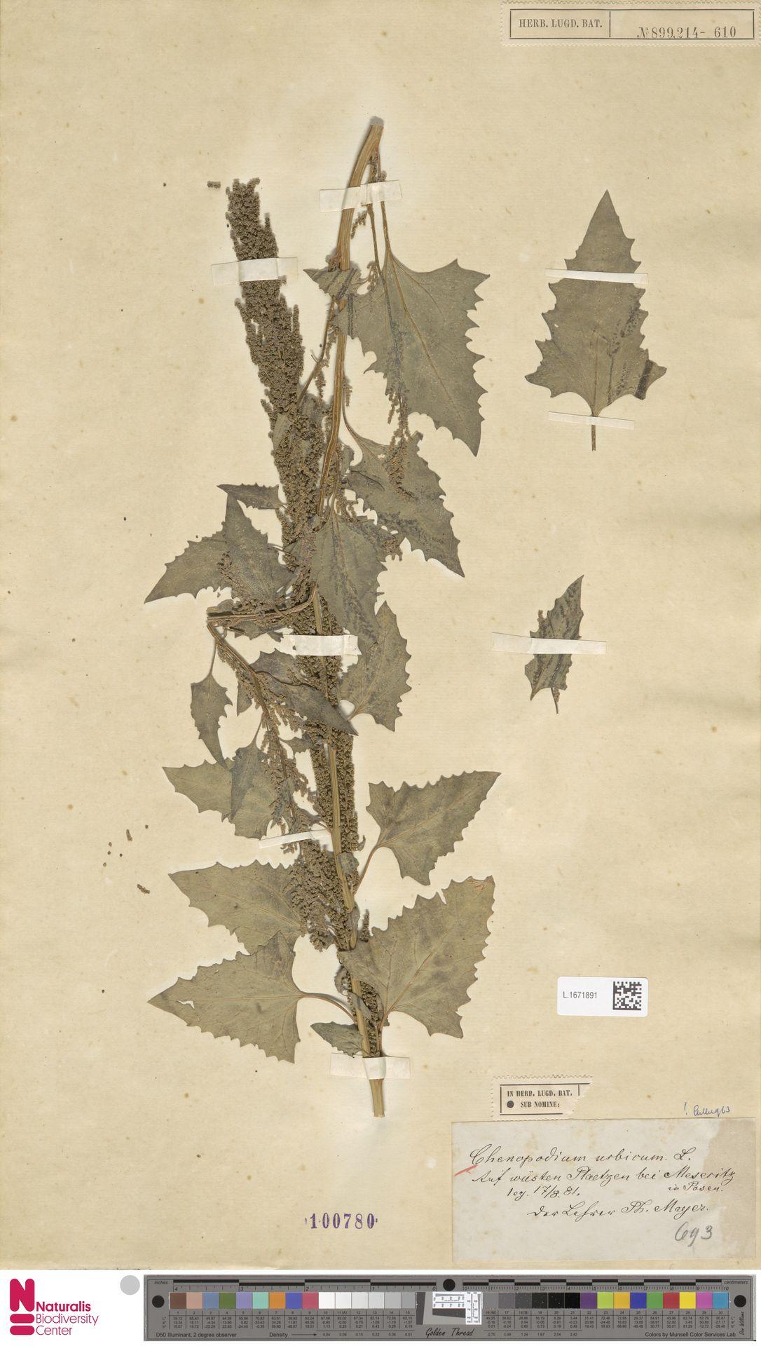 L.1671891 | Chenopodium urbicum L.