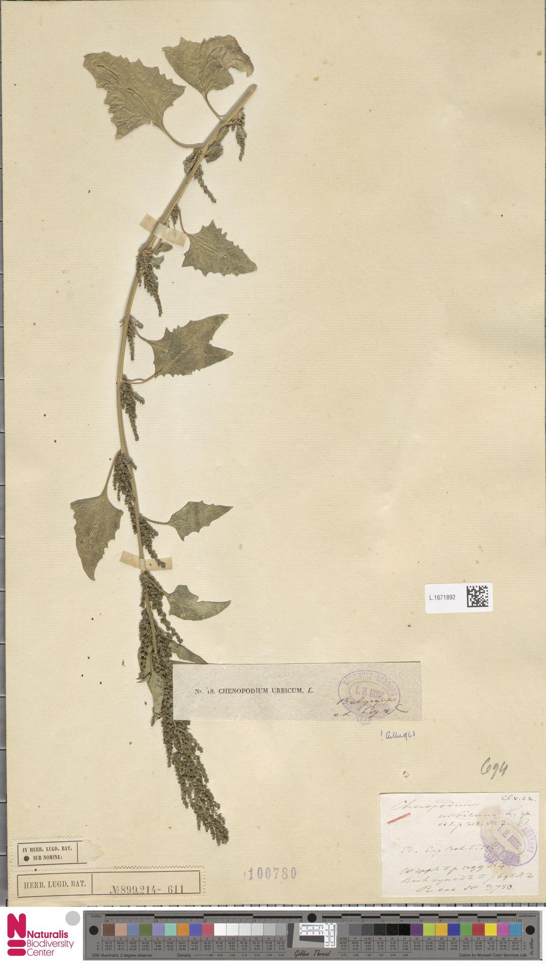 L.1671892 | Chenopodium urbicum L.
