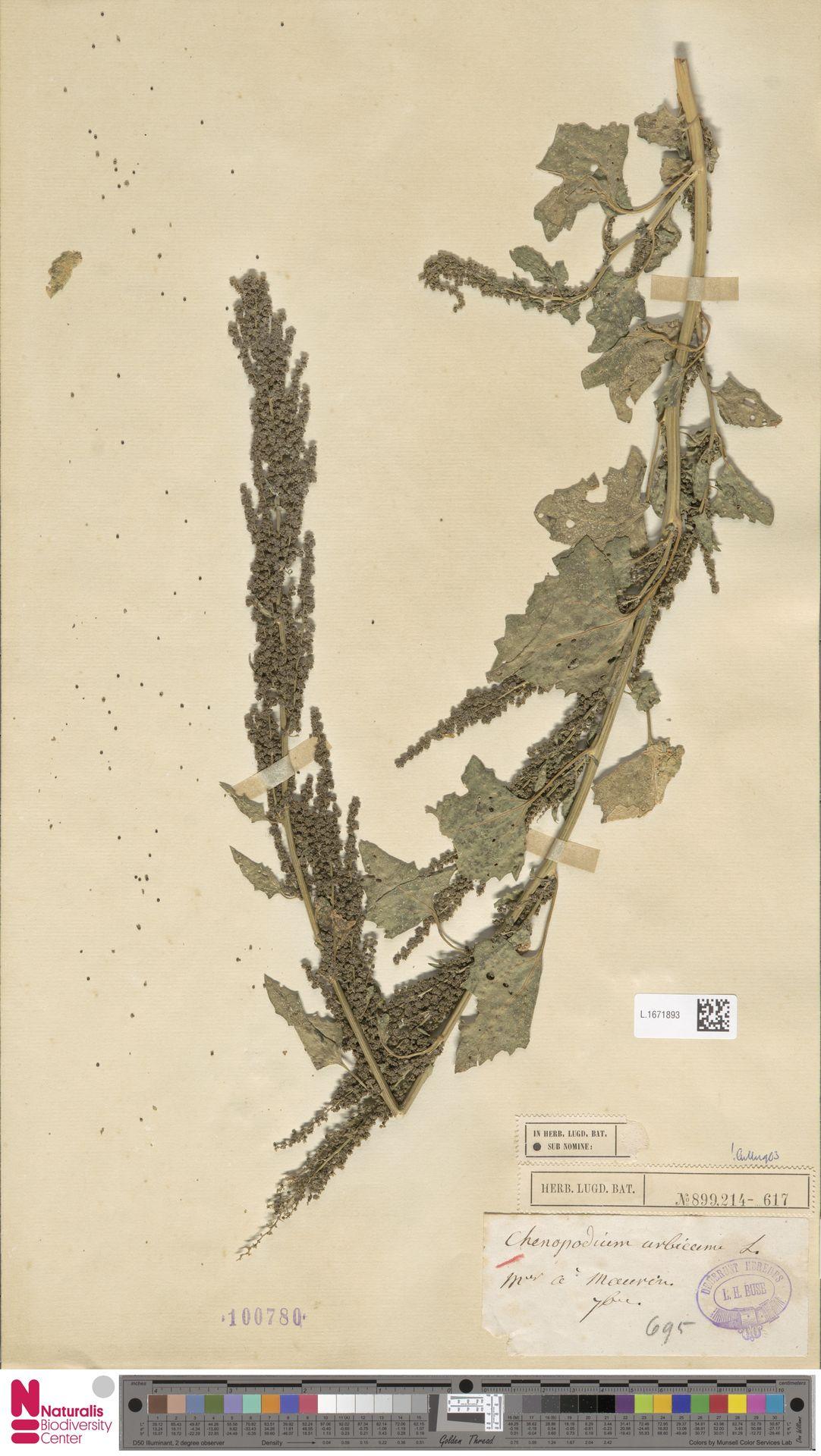 L.1671893 | Chenopodium urbicum L.