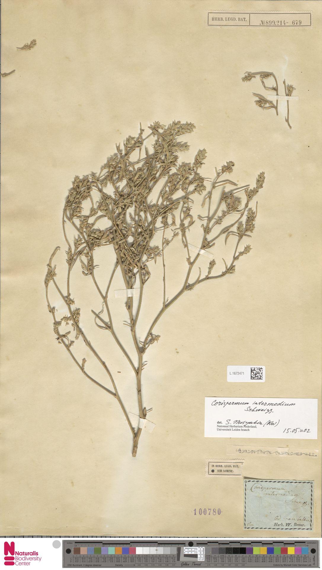 L.1672471 | Corispermum intermedium Schweigg.