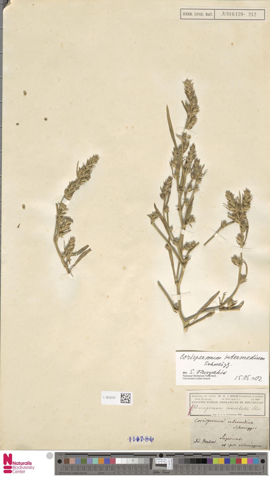 L.1672472 | Corispermum intermedium Schweigg.