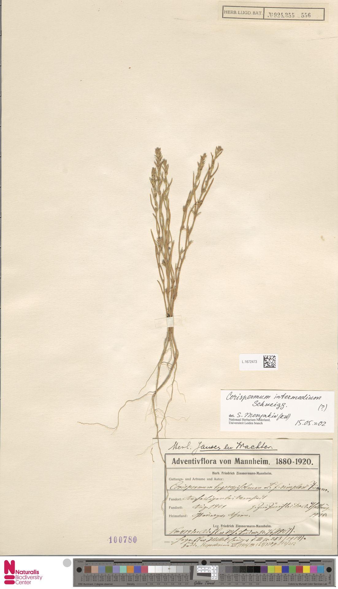 L.1672473 | Corispermum intermedium Schweigg.