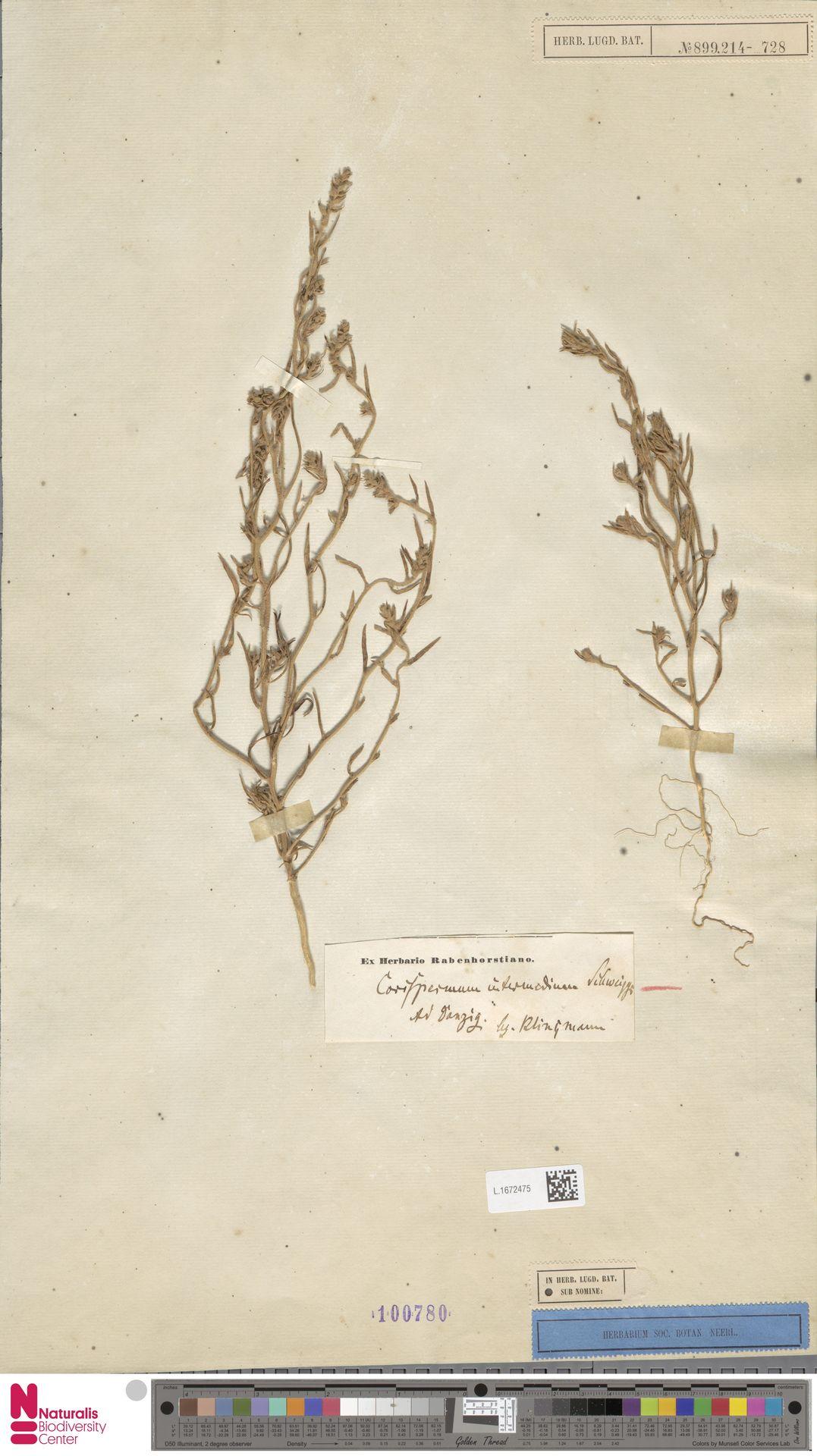 L.1672475 | Corispermum intermedium Schweigg.