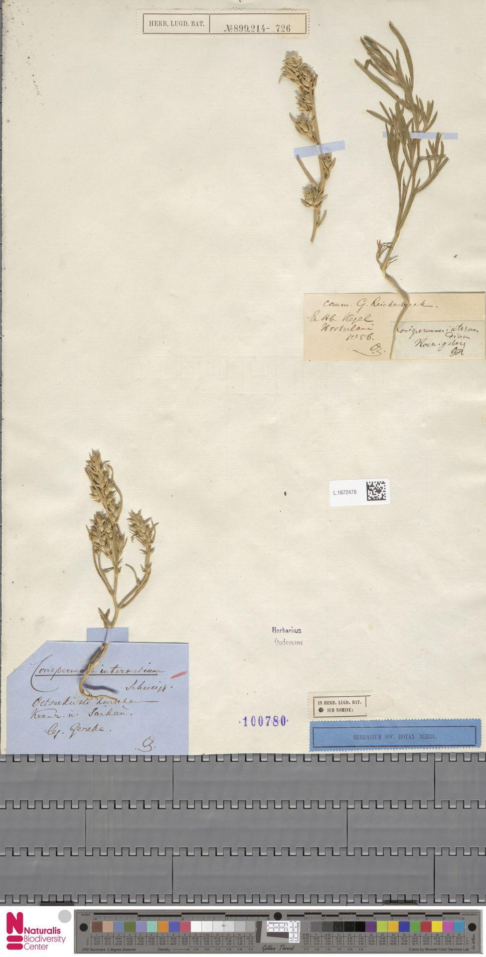 L.1672476 | Corispermum intermedium Schweigg.