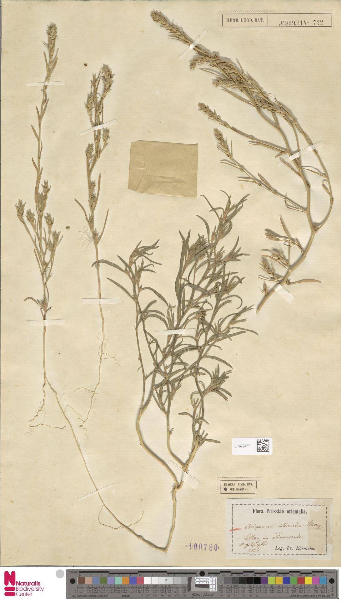 L.1672477 | Corispermum intermedium Schweigg.