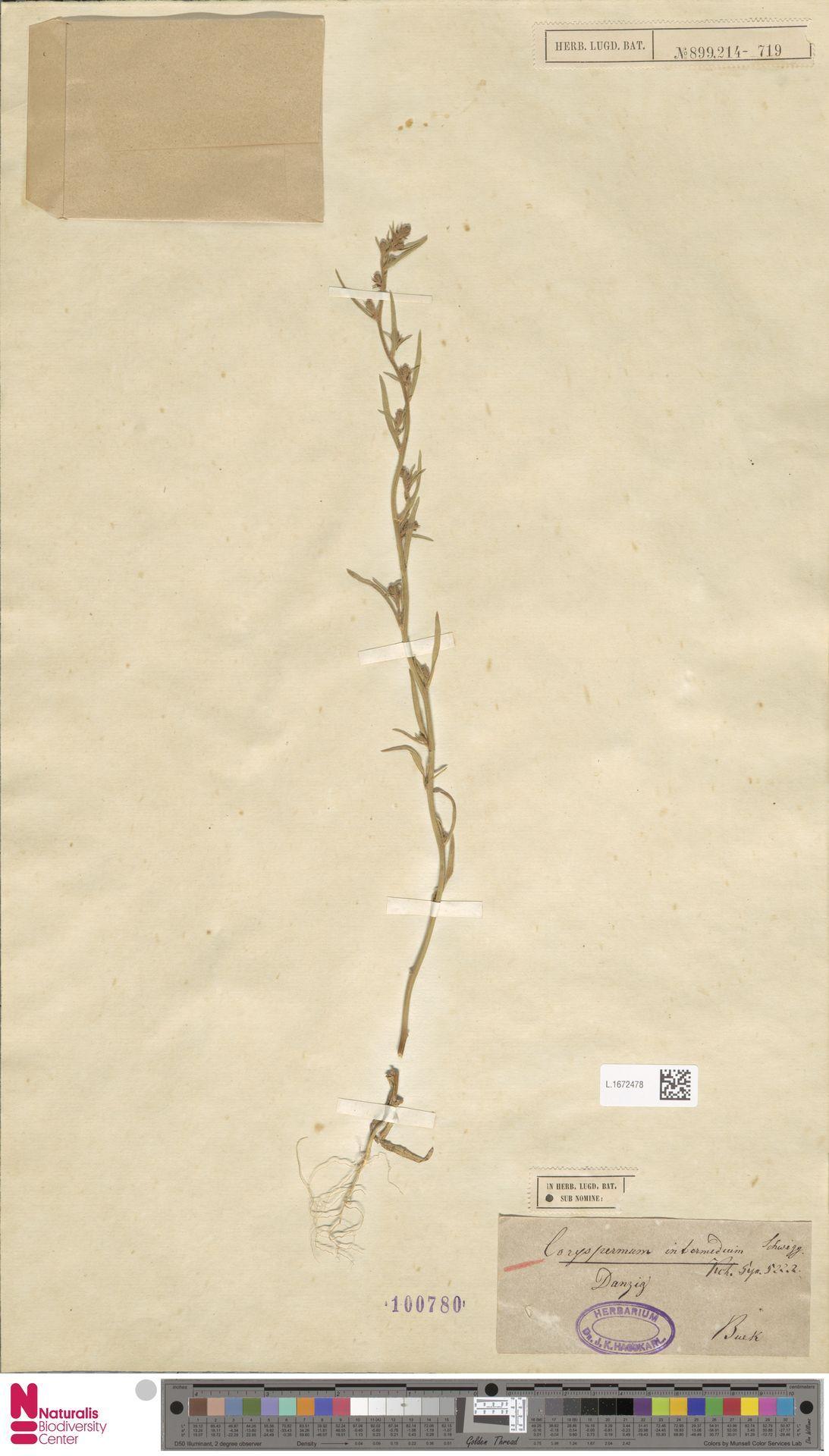 L.1672478 | Corispermum intermedium Schweigg.