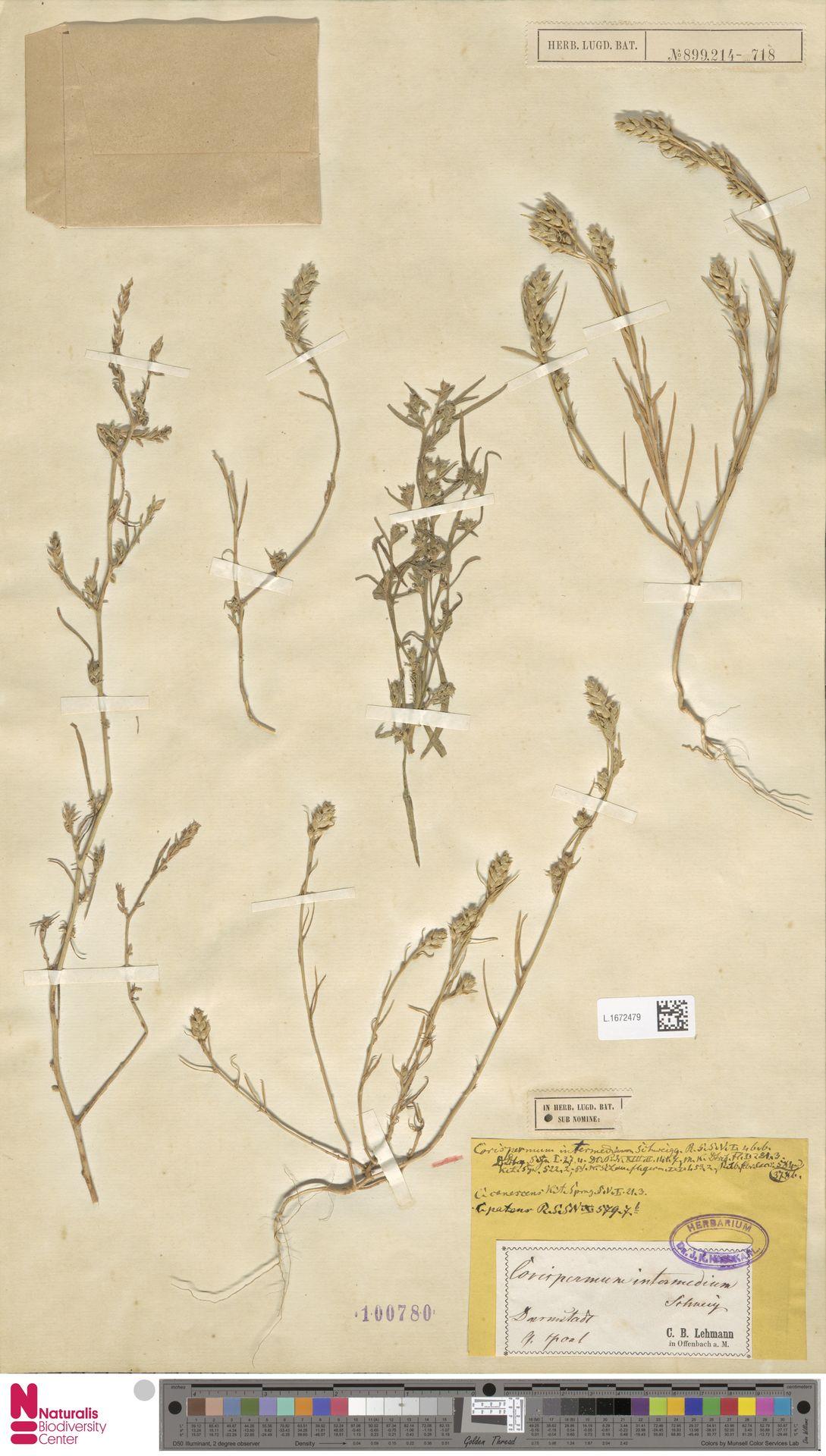 L.1672479 | Corispermum intermedium Schweigg.