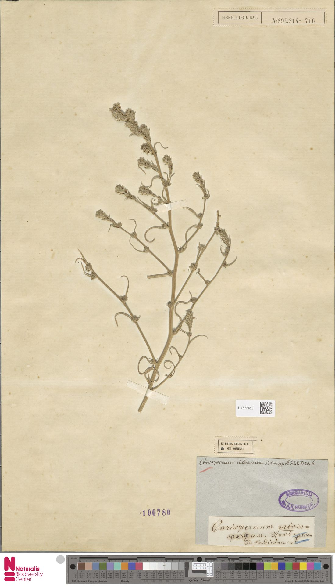 L.1672482 | Corispermum intermedium Schweigg.