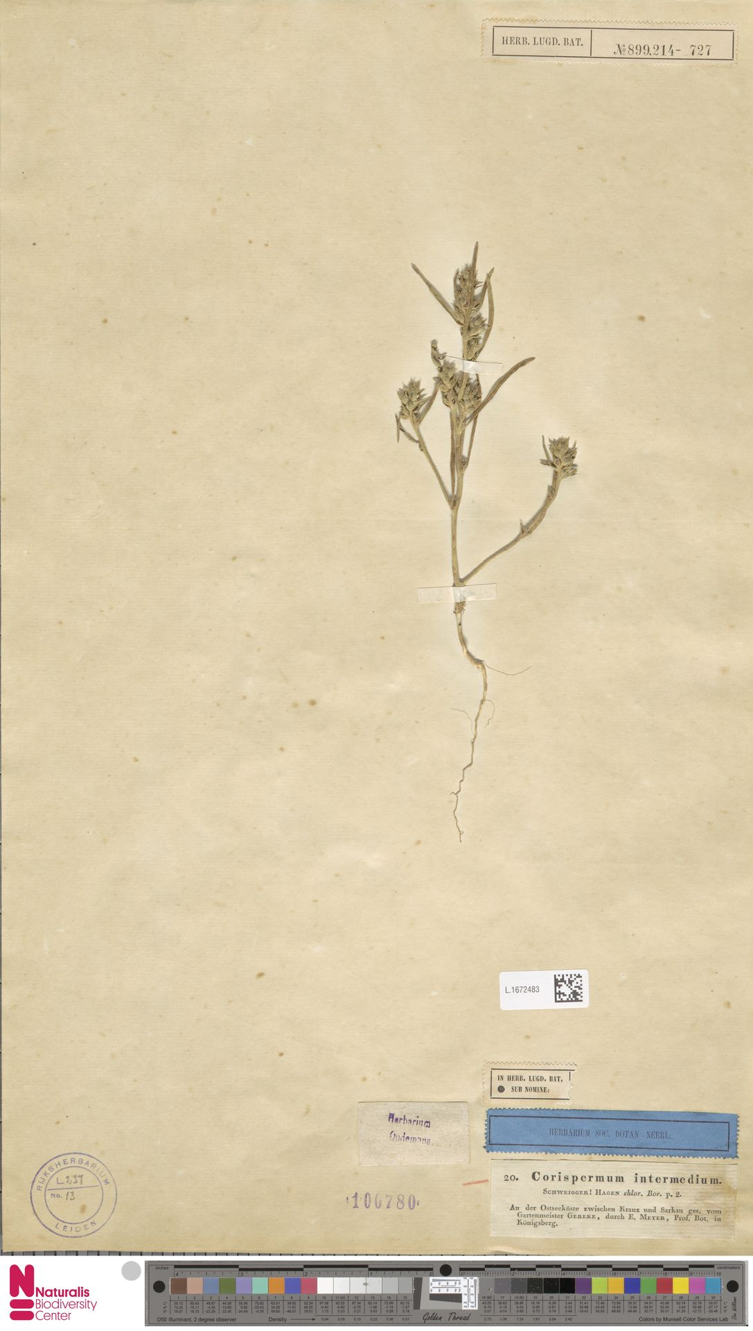 L.1672483 | Corispermum intermedium Schweigg.