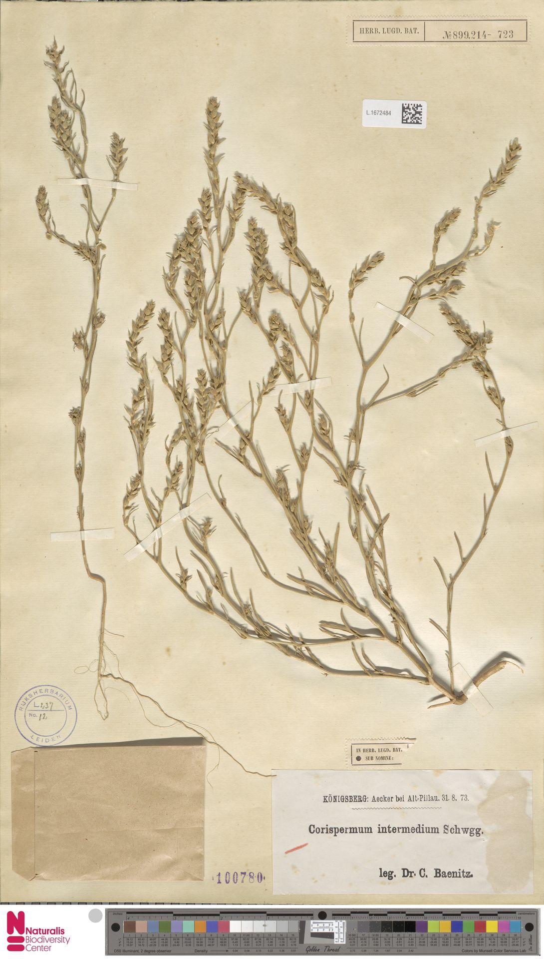 L.1672484 | Corispermum intermedium Schweigg.